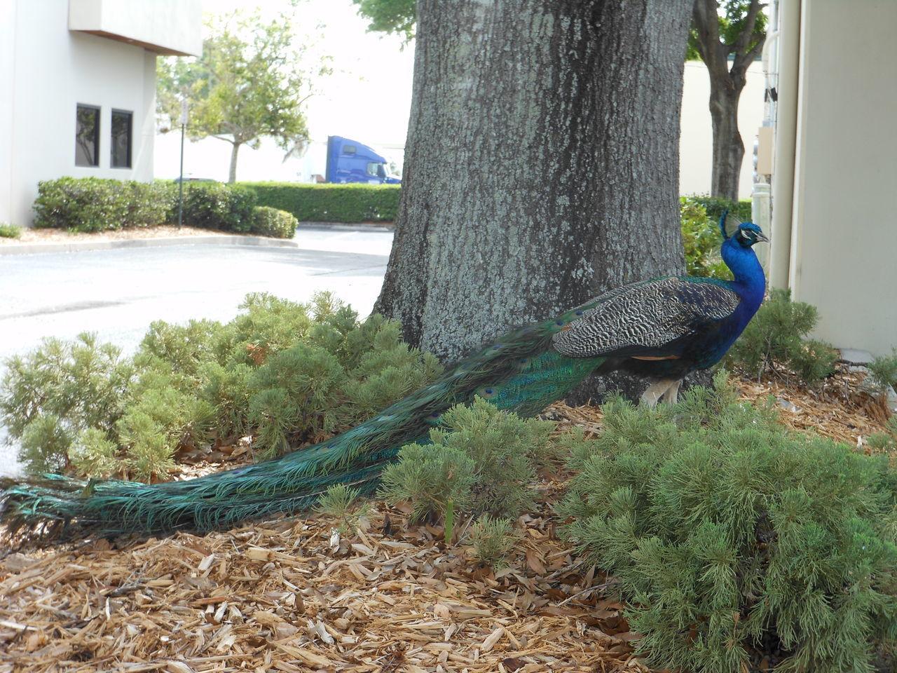 Beautiful stock photos of peacock, Animal, Animal Themes, Avian, Bird
