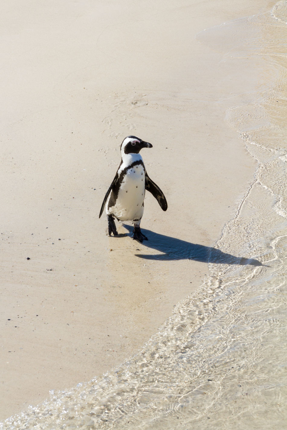 An African Penguin on the Beach African Penguin Animal Themes Animal Wildlife Animals In The Wild Aquatic Beach Bird Boulder Beach Day Flightless Bird Jackass Penguin Native Nature No People One Animal Outdoors Penguin Sand Shadow Simons Town Vertical Waddling Walking Around Wandering Zoology