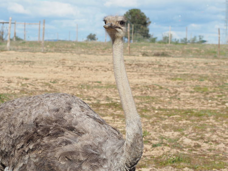 ostrich Beautiful Bird Photography Europe Fieldscape Nature Photography Ostrich Portugal_em_fotos Wintertime