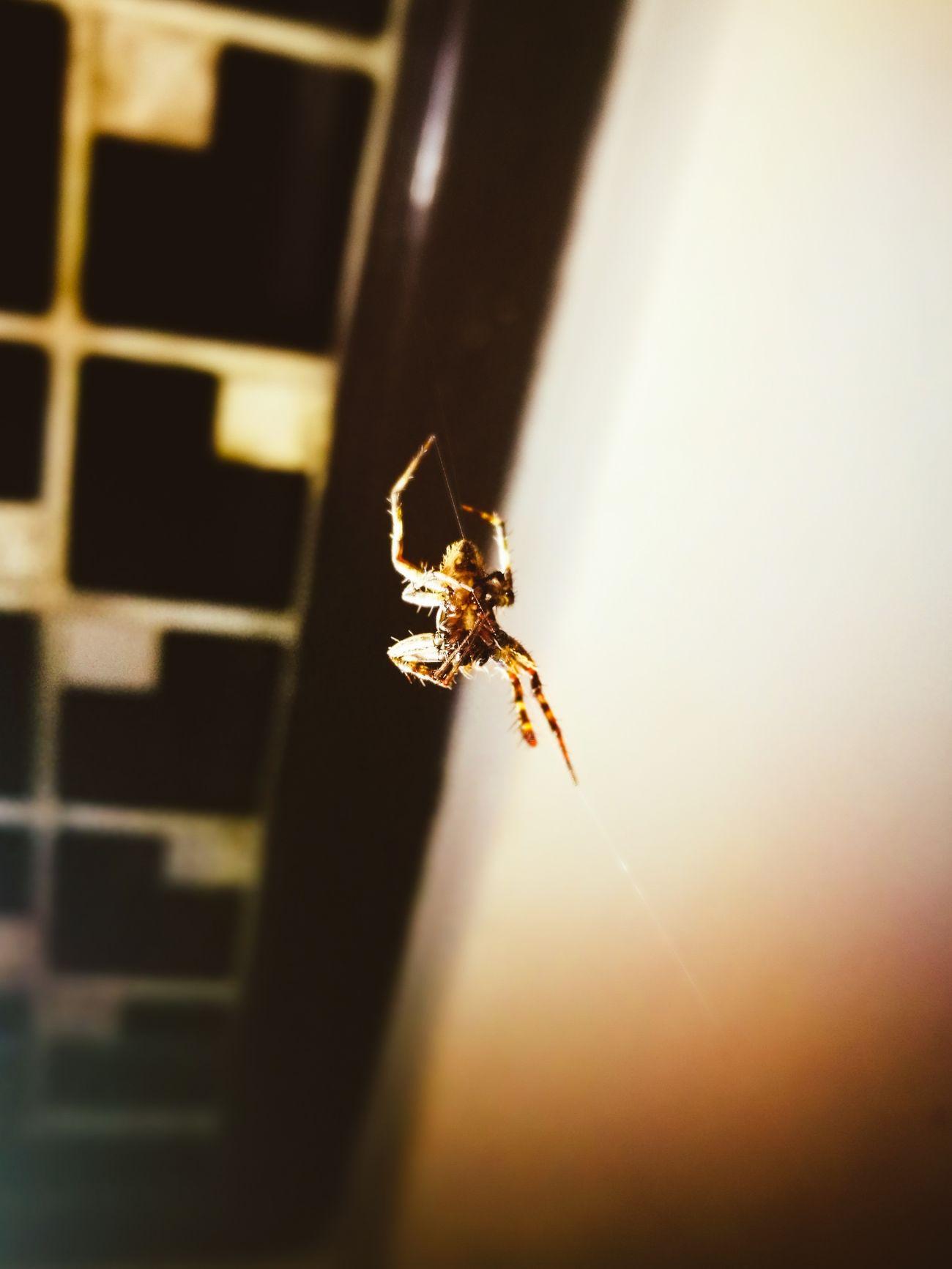 First Eyeem Photo Spiderworld Spider Domestic Room Domestic Animals spider ninja Spidee Web