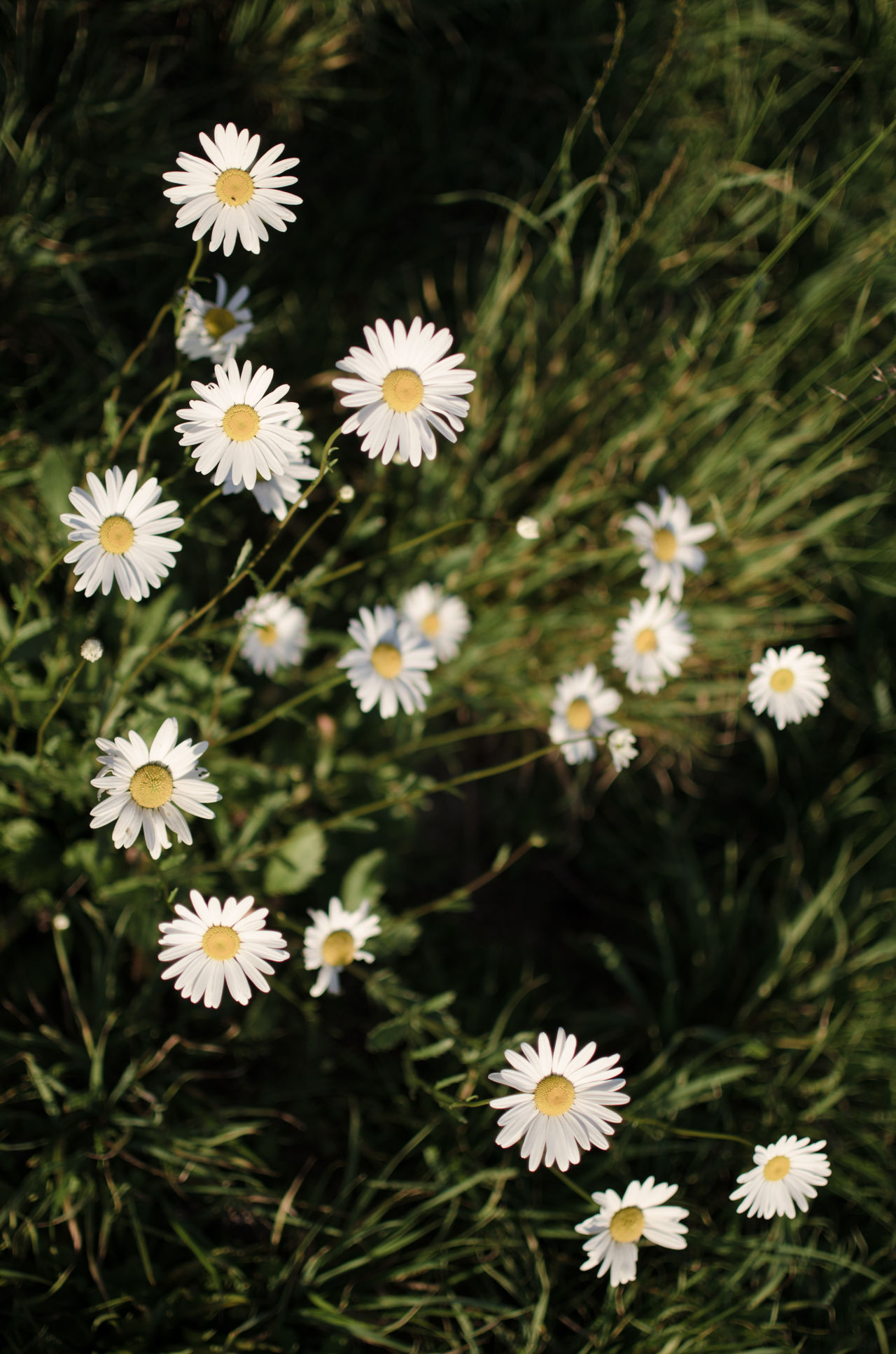 Beauty In Nature Blooming Close-up Daisies Daisy Daisy Daisy Flower Day Flower Flower Head Fragility Freshness Growth Nature No People Outdoors Petal Plant Pollen Season  Spring Sweet White Color