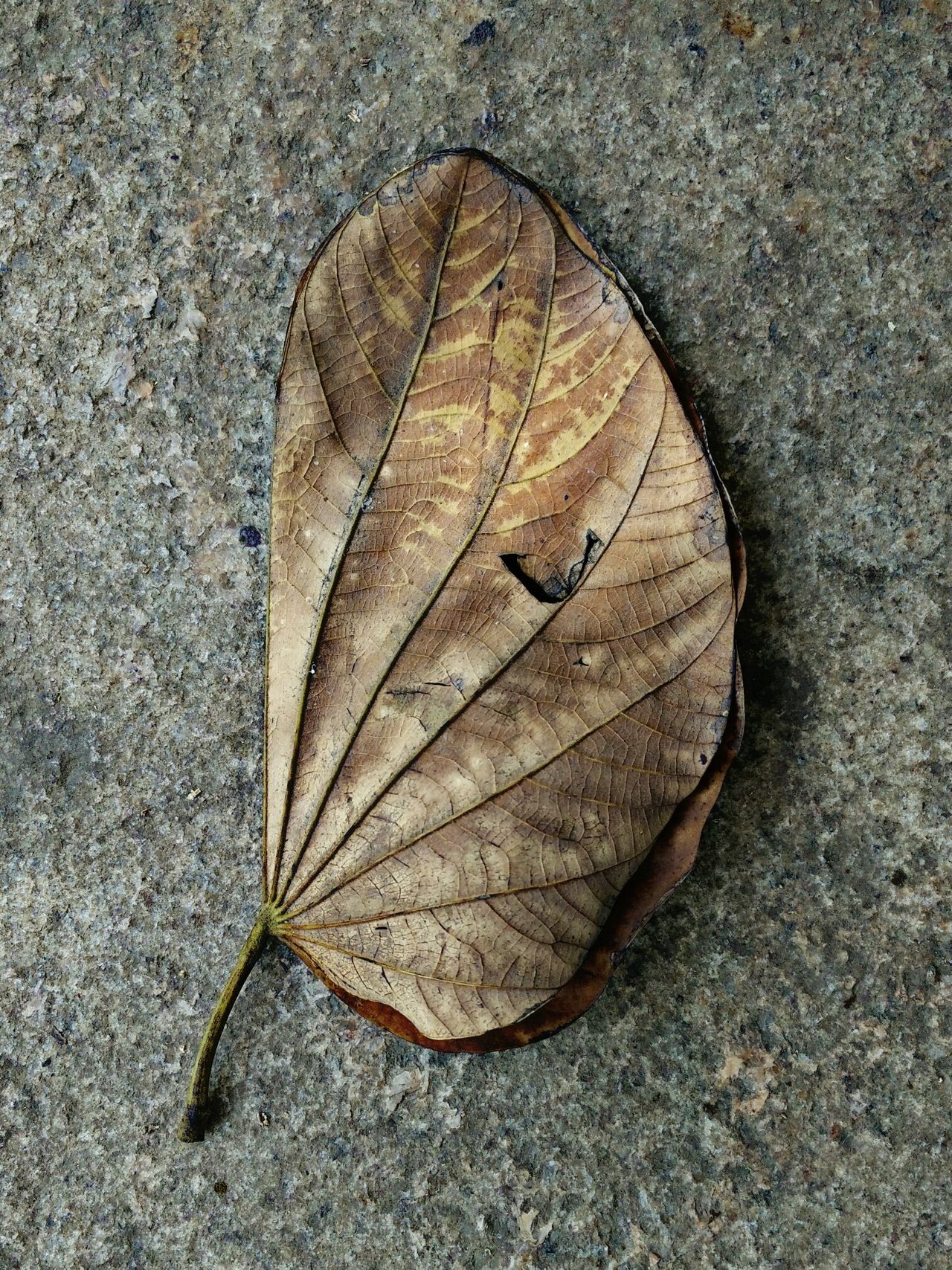 Dry Leaves Faded Fade Away Faded But Not Forgotten Faded Memories Faded But Still Beautiful Faded Glory Mobile Photography Mobile_photographer