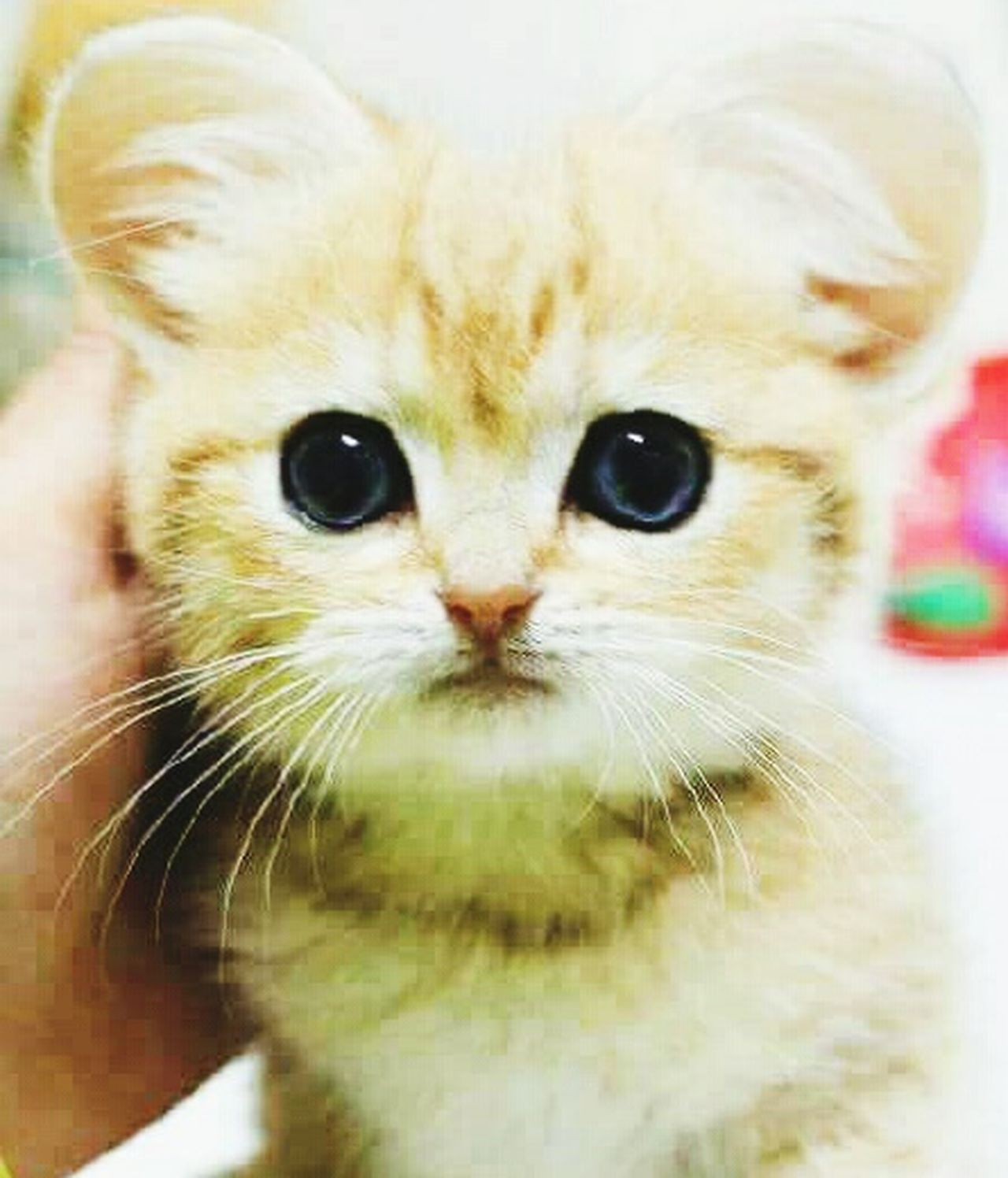 Cat♡ Cat Lovers Beautiful Animals  Uff Uniqe Looking At Camera Front View Love ♥ Check This Out Happy :) Pakistan Innocence Cute Taking Photos Love Without Boundaries Hello World Chair Love Hanging Out Hi! Beautiful Animals  Animal Photography Google Chear Enjoying Life