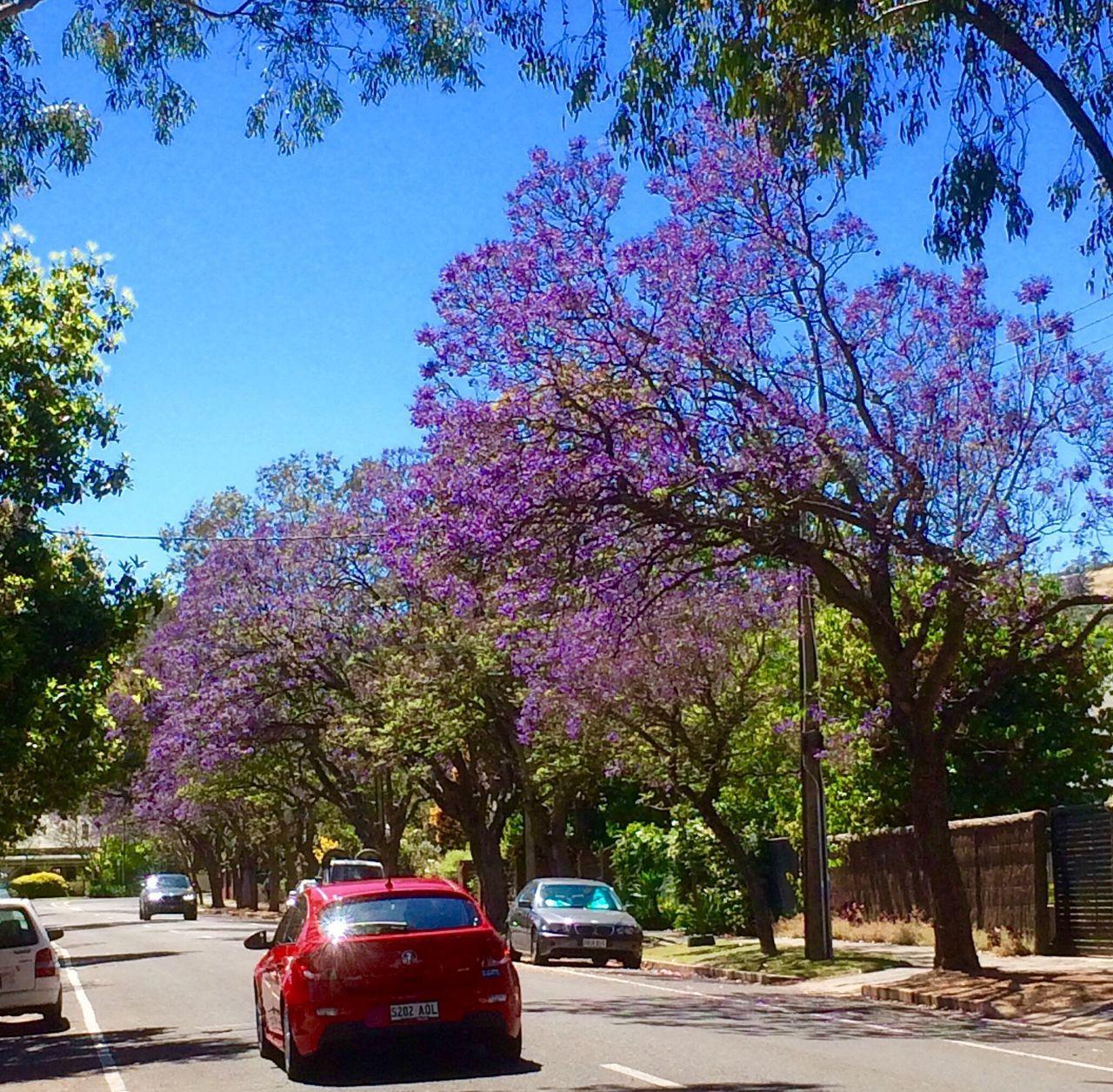 Flowering Tree Purple