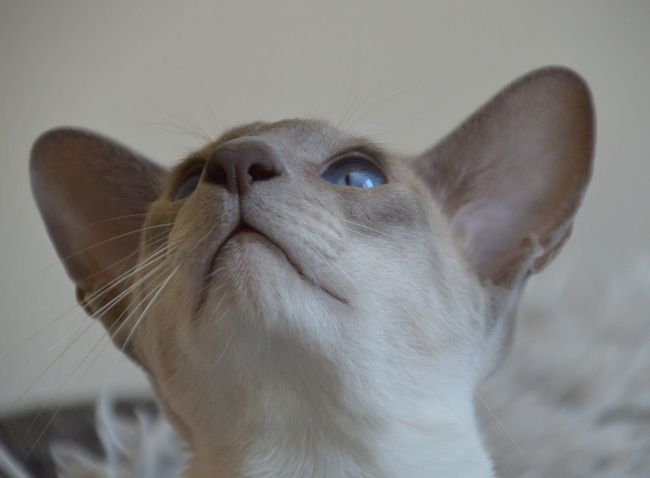Siamese Siamese Cat Siamesecats Cat Cats Catsofinstagram Cats Of EyeEm Specialcats Cat Lovers Catoftheday Catlovers Domestic Cat Domestic Animals Pets Animal Themes One Animal Animal Head  Close-up Hills Pet Photography  Pets Corner Petsofinstagram Catsoftheworld Catsagram Cats 🐱