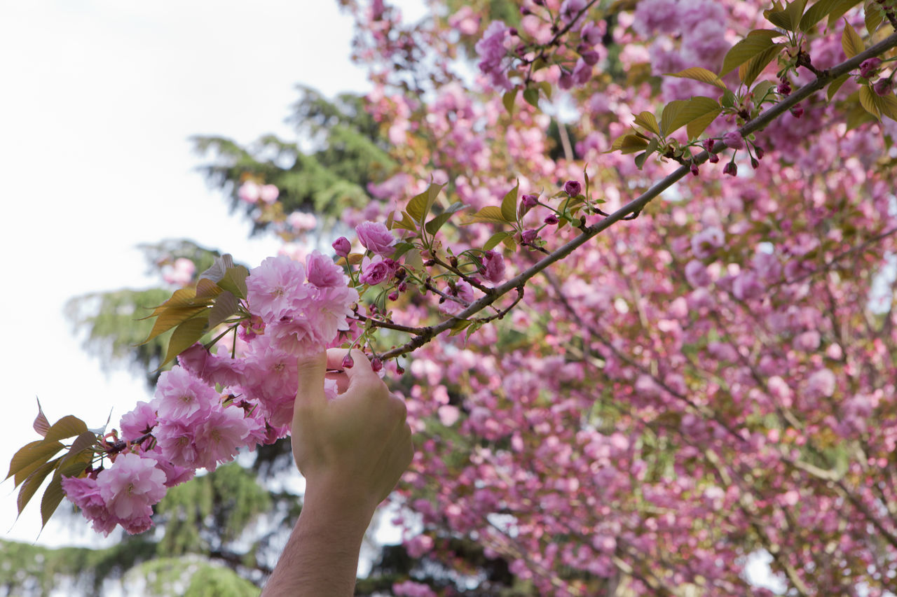 Adult Adults Only Beauty In Nature Branch Cherry Blossoms Cherry Tree Close-up Day Flower Flower Head Fragility Freshness Growth Hanami Sakura  Nature One Man Only One Person Only Men Outdoors People Pink Pink Color Sky Springtime Tree