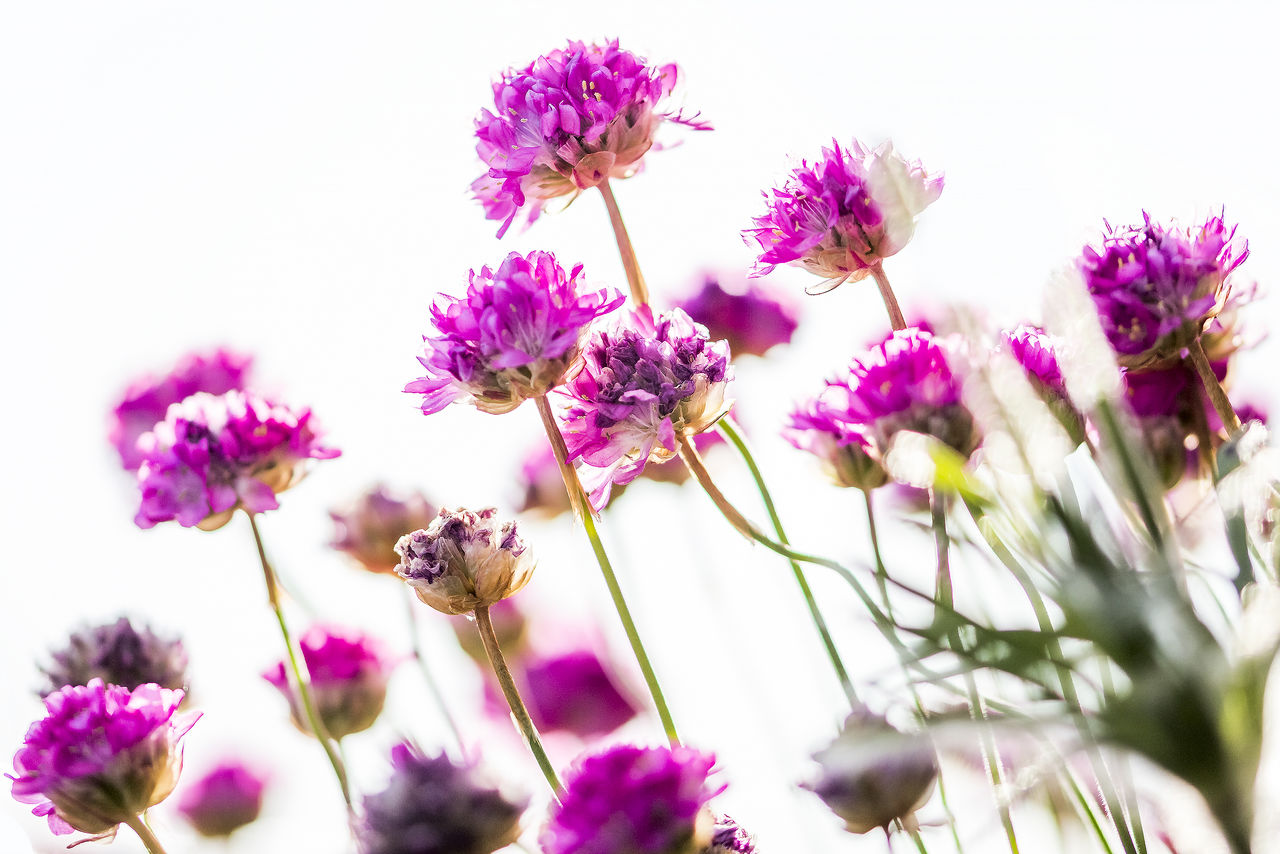 Beauty In Nature Bright Close-up Day Decoration Flower Flower Head Fragility Freshness Garden Light Nature Nature No People Outdoors Pink Color Plant Sky Slanted Texture