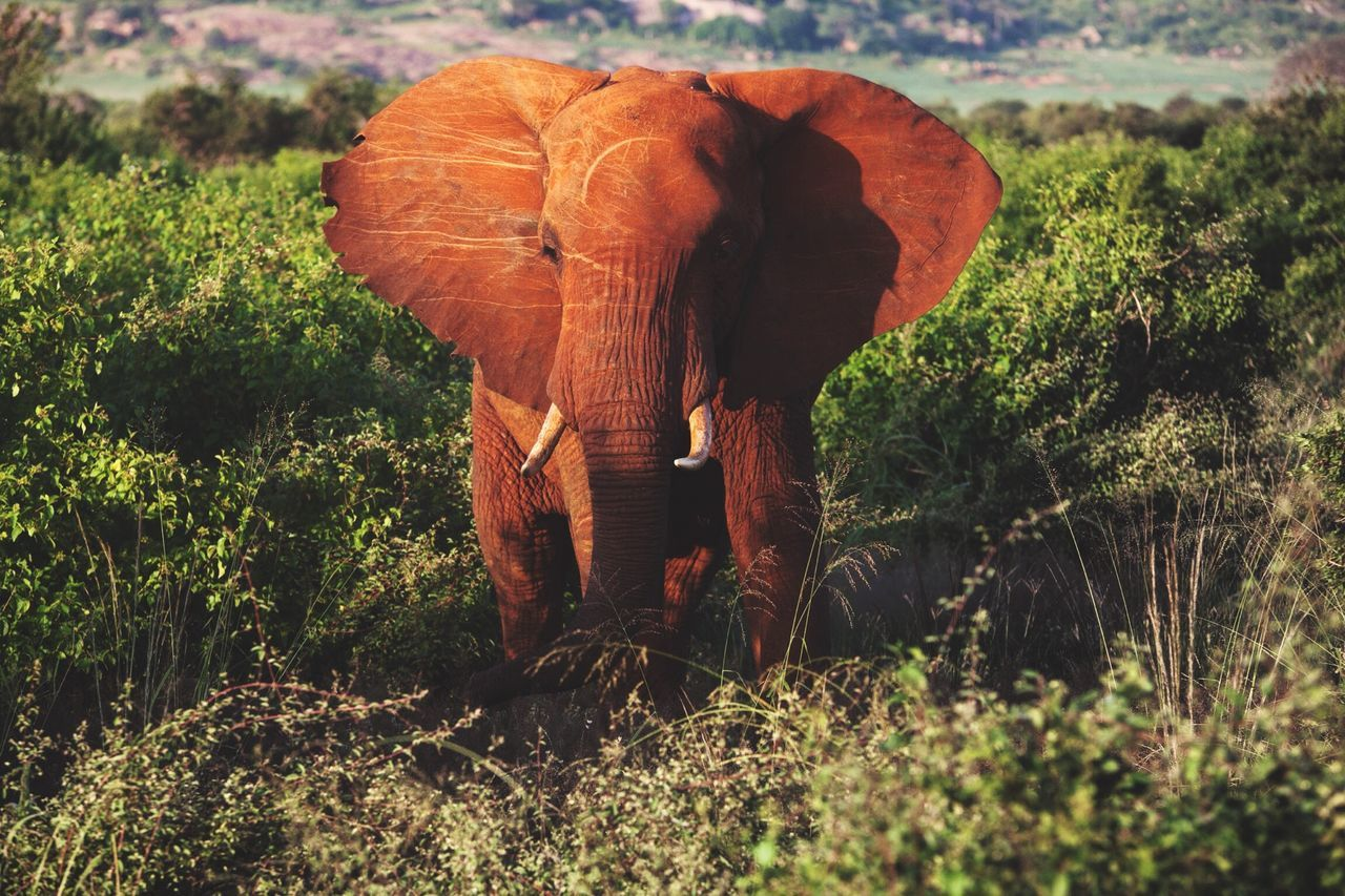 Beautiful stock photos of elephant, African Elephant, Animal Themes, Animal Trunk, Animal Wildlife