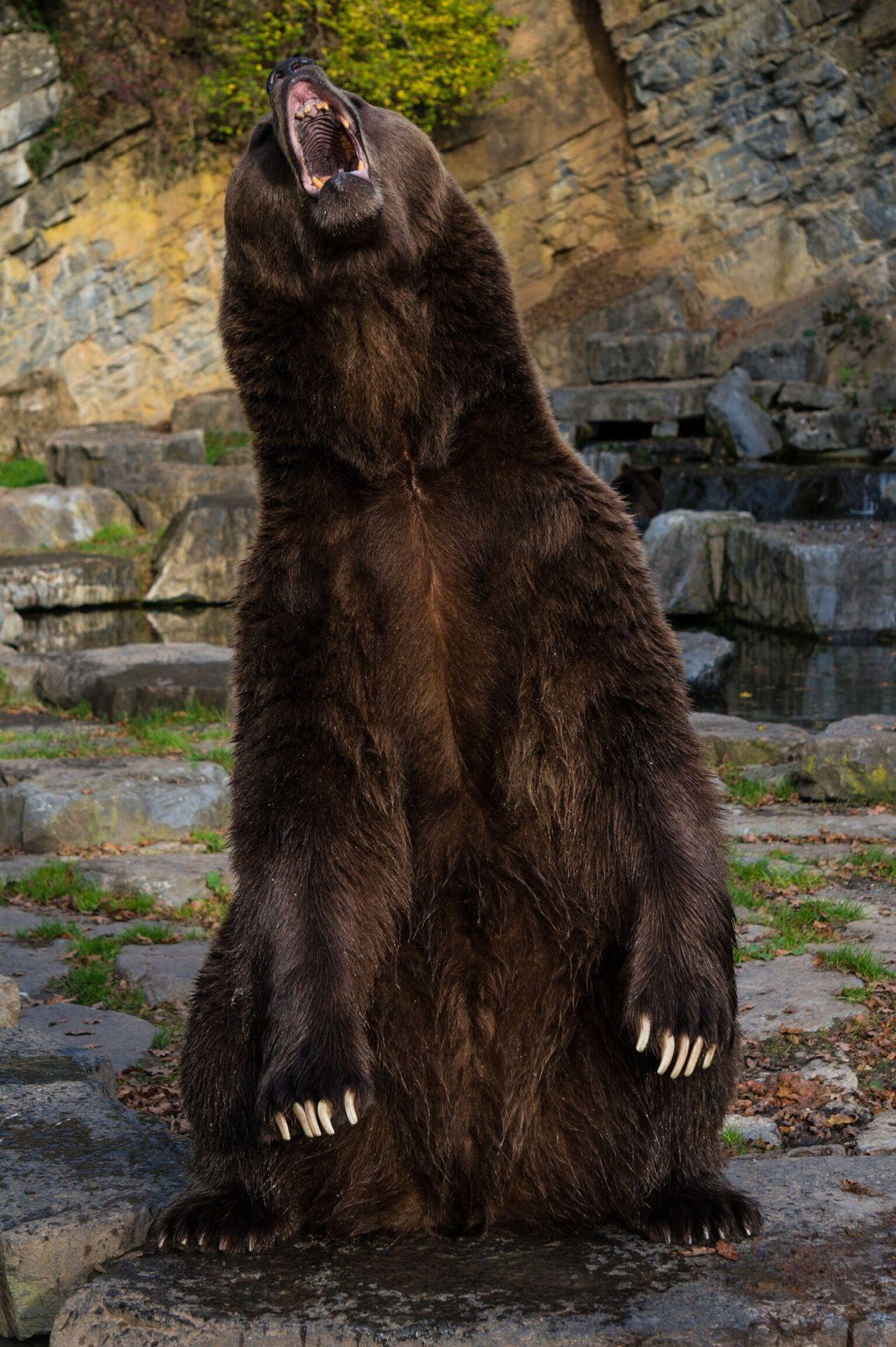 Beautiful stock photos of bear, Animal Hair, Bear, Brown, Day