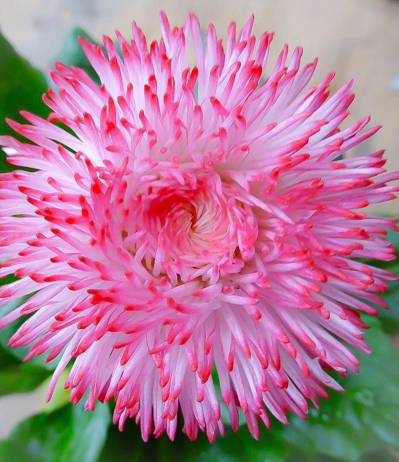 Flower Pink Color Fragility Petal Freshness Beauty In Nature Flower Head Nature Growth Close-up Plant Blooming Outdoors No People Day Chrysanthemum Gerbera Daisy Dahlia Whitepinkflowerhead Pink Flower 🌺 Day Out Lovely Day Today Close Up White Flower Pink Flowers
