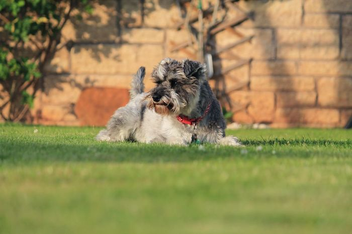 Miniture Schnuzer relaxing Animal Themes Grass One Animal No People Dog Growth Pets Mammal Outdoors Nature Day Minature Schnauzer Schnauzerlife Schnauzers Schnauzerlove Schnauzer Mrtuppy
