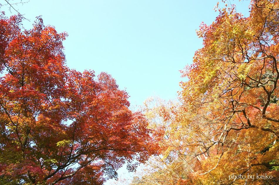 Tree Red 紅葉 Red Landscape_photography Nature_collection Eye4photography  Japan Photography Japan Scenery Landscape_Collection 写真好きな人と繋がりたい Eyeemphotography EyeEm Gallery 紅葉2016 Landscape 紅葉狩り 箕面公園 Orange Color Koyo_kei EyeEm Best Shots