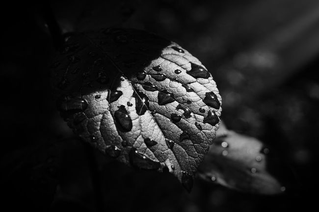 Close-up Nature One Animal Leaf No People Animal Themes Day Outdoors Beauty In Nature Nature Nature_collection Nature Photography Blackandwhite Blackandwhite Photography Black And White Photography Rain Rainy Days Drop Light And Shadow Dark Water Autumn Beauty In Nature Bokeh Photography Bokeh