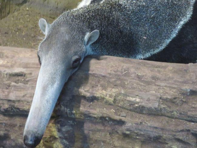 One Animal Animal Themes Animal Head  Zoology Mammal Focus On Foreground Animal Anteater Zoo Animals