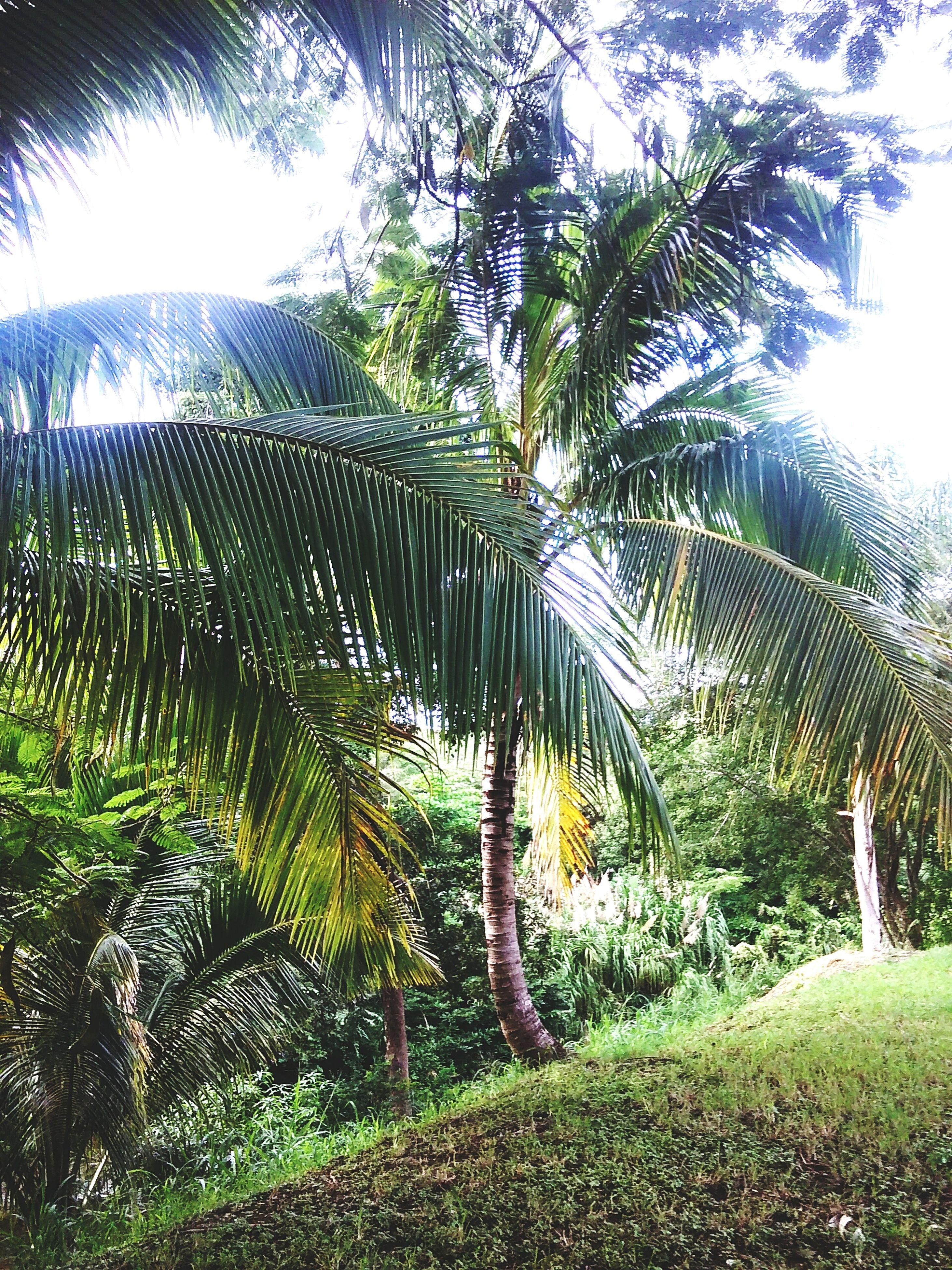 tree, growth, tranquility, green color, nature, plant, tranquil scene, sunlight, palm tree, beauty in nature, fence, branch, field, clear sky, scenics, sky, day, outdoors, low angle view, tree trunk