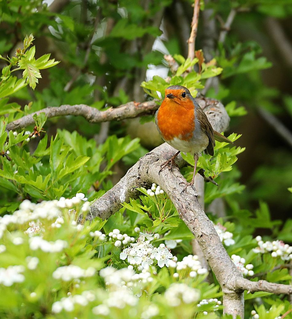 Robin Perching One Animal Bird Animals In The Wild Nature Animal Themes Animal Wildlife Focus On Foreground Beauty In Nature Day Robin No People Growth Tree Branch Outdoors Close-up
