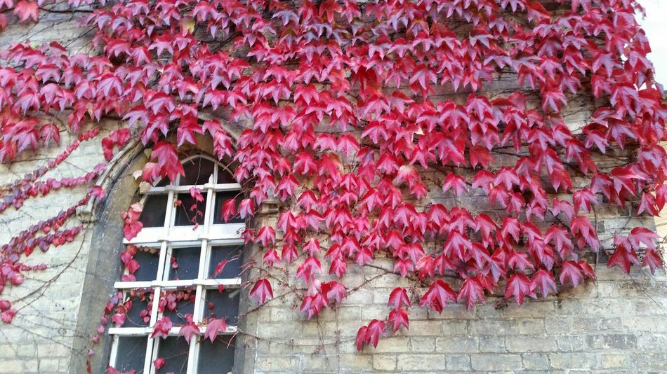 Ivywall Ivy Wall Ivyleaves Ivyred