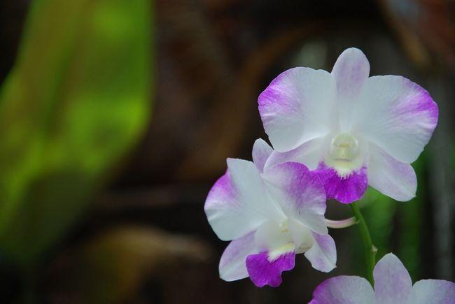 Orchids  EyeEm Thailand