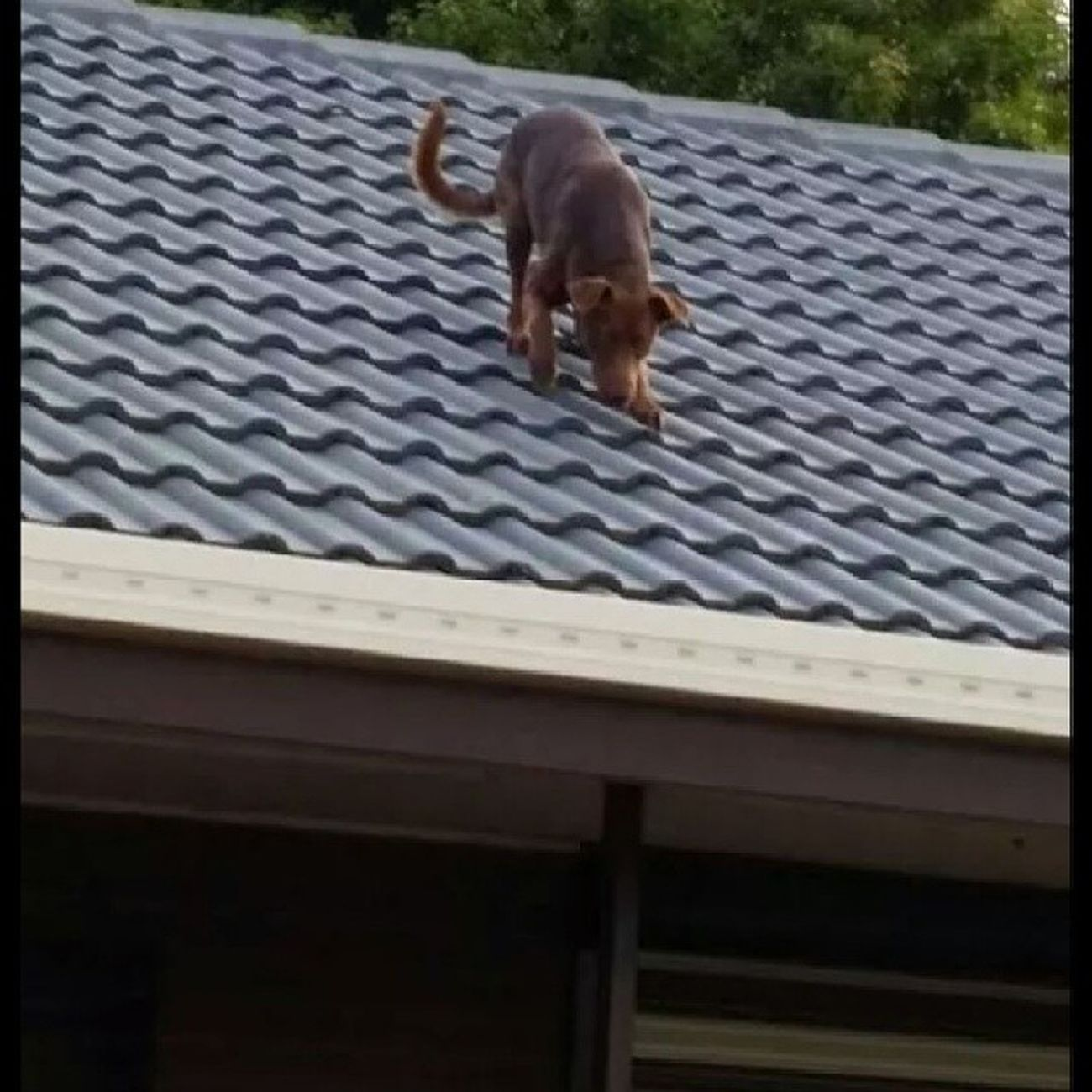 I had to share this! Alex's dog Dex has always been a terror, destroying things in the backyard, escaping through the gate and annoying the neighbors. But this is a whole new level of shitcuntary. Yes.. somehow he managed to get on the roof!! Superdog Ninjadog Dogontheroof WTF wellillbedamned