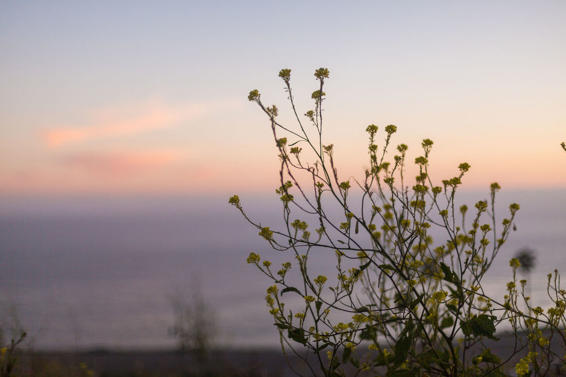 Black Mustard at twilight Beauty In Nature Black Mustard Clouds Focus On Foreground Getting Dark Hills Hillside Nature No People Ocean View Orange Glow Orange Glow In The Sky Outdoors Pink Glow In The Sky Plant Shallow Depth Of Field Silhouette Sky Sunset Tranquility