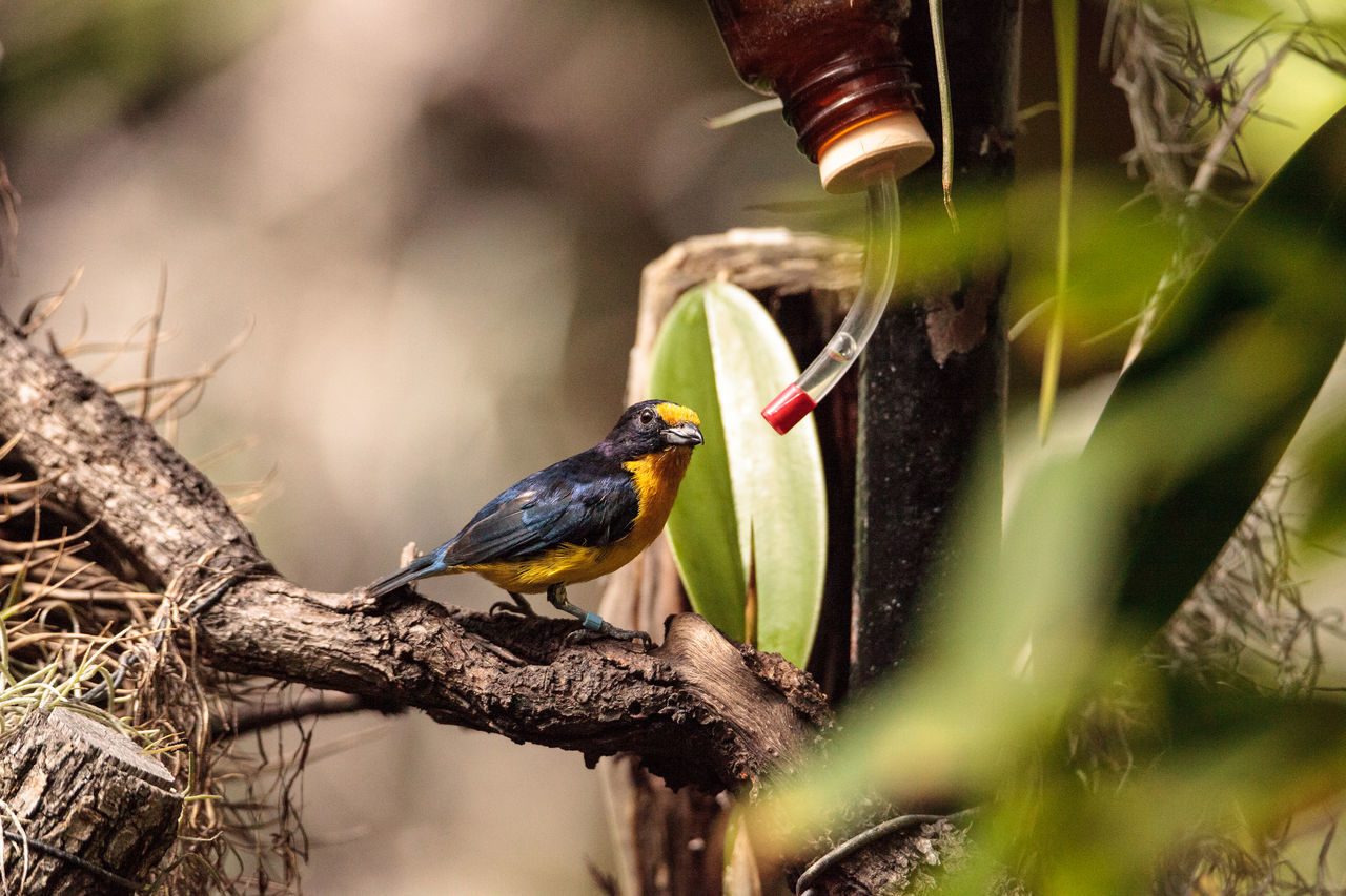 Male yellow and blue Violaceous Euphonia also called Euphonia violacea is a bird found in Brazil Euphonia Violacea Violaceous Euphonia Animal Themes Animal Wildlife Animals In The Wild Beauty In Nature Bird Birds Close-up Colorful Bird Day Nature No People One Animal Outdoors Perching Tree Violaceous
