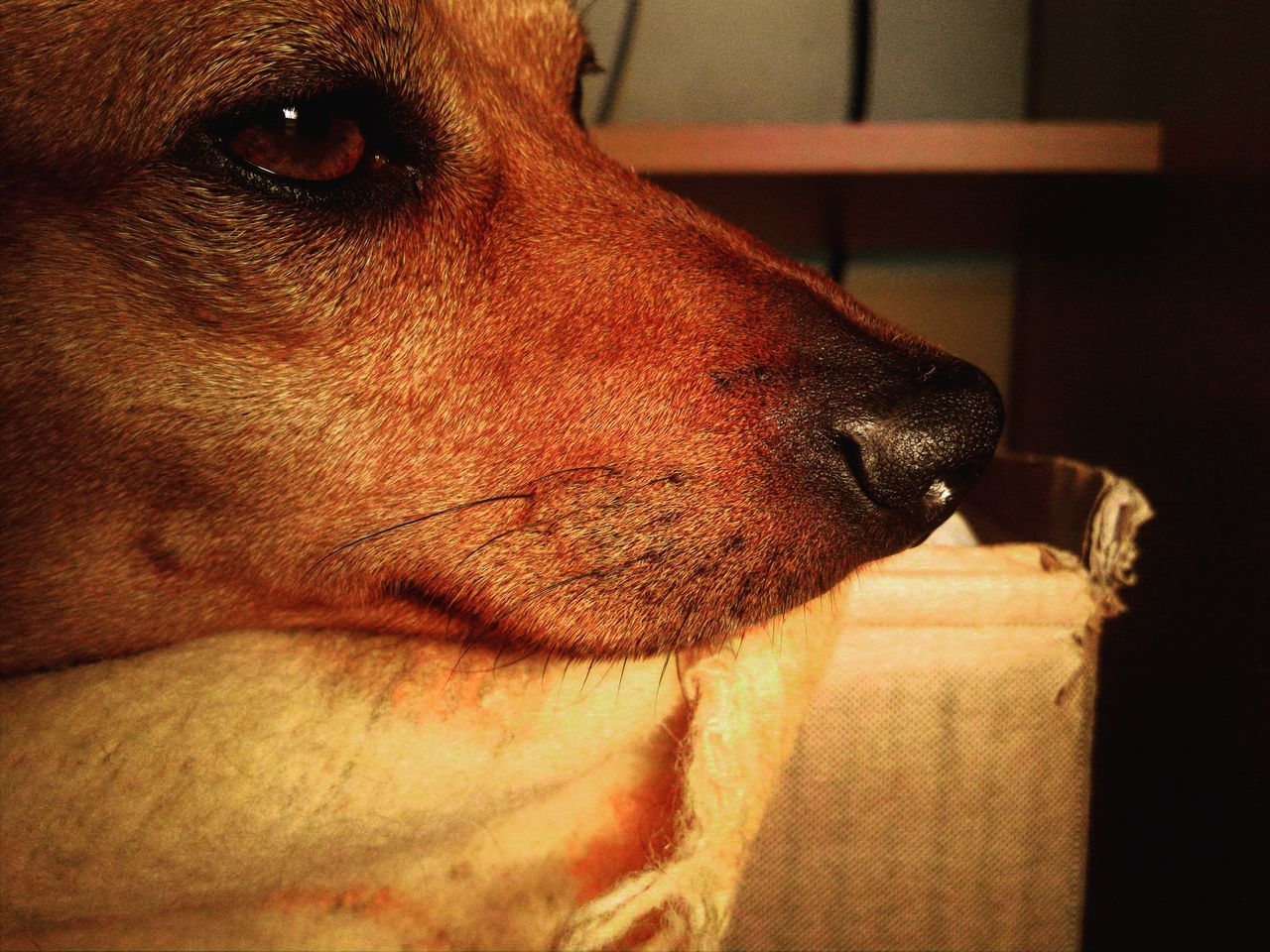 Serietà Serious Animal Themes Domestic Animals Dog Pets Close-up Brown Manual Focus Personal Perspective Doggy Eye4photography  Doggy Love Dog Love Eye4photography  Living The Moment Animal Head  One Animal Pinscher Part Of Sadface Animal Head  Animals Taking Photos No People