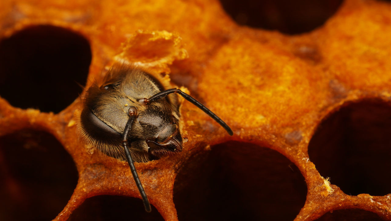 Newborn bee animal Baby bee beehive cloesup close-up cultivation Dalecarlia Hatch insect insect photography macro Macro Photography northern europe one animal Orange Scandinavia selective focus Sweden wildlife