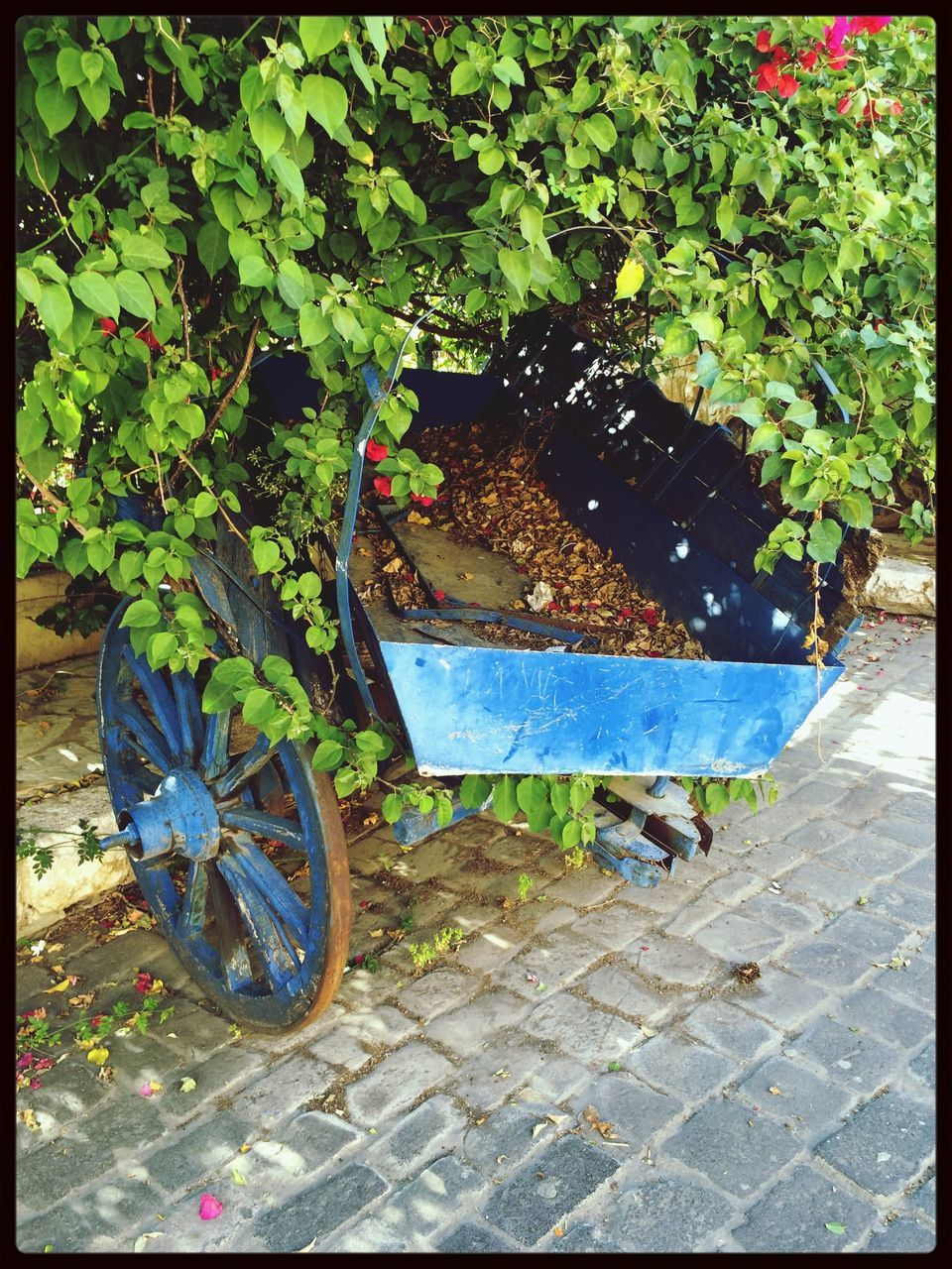 Bush overgrown a wheelbarrow on cobblestones
