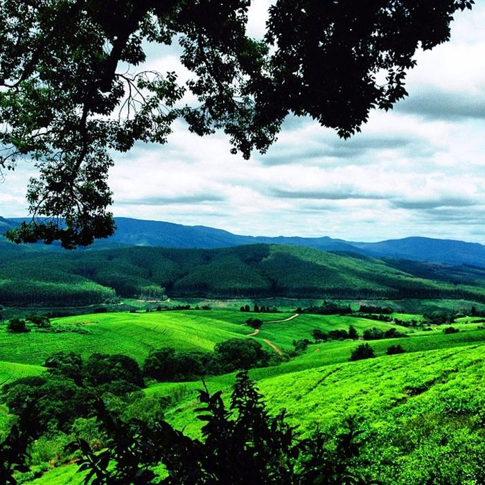 How About a Spot of Tea? Tea plantation near Tzaneen, South Africa Ace_ Deadlydivas Gang_family Deadlydivas_edits Unitedbyedit Ube_ Amselcom Ig_outkast Instauno Ig_one Igsg Edit2gether Bd Stunning_pics7 Master_pics Icatching Ig_captures Femme_elite Ig_artgallery Onlythe_femme Ig_everything Hdr_femme Editsrus Weareinheaven Bestinstagramart Dhexpose Instamasters