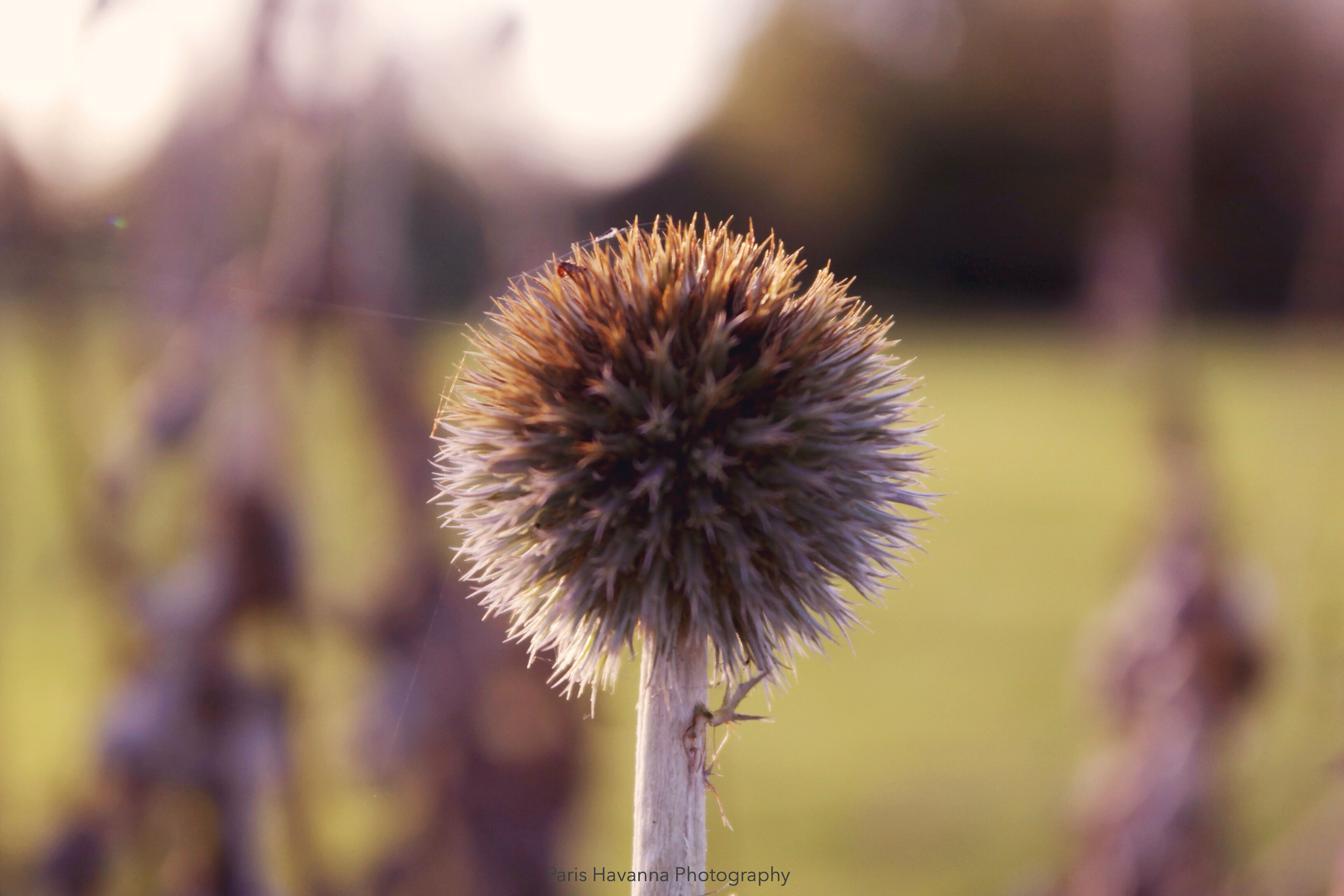flower, dandelion, growth, focus on foreground, fragility, close-up, freshness, stem, flower head, nature, plant, beauty in nature, uncultivated, single flower, selective focus, wildflower, outdoors, botany, day, no people