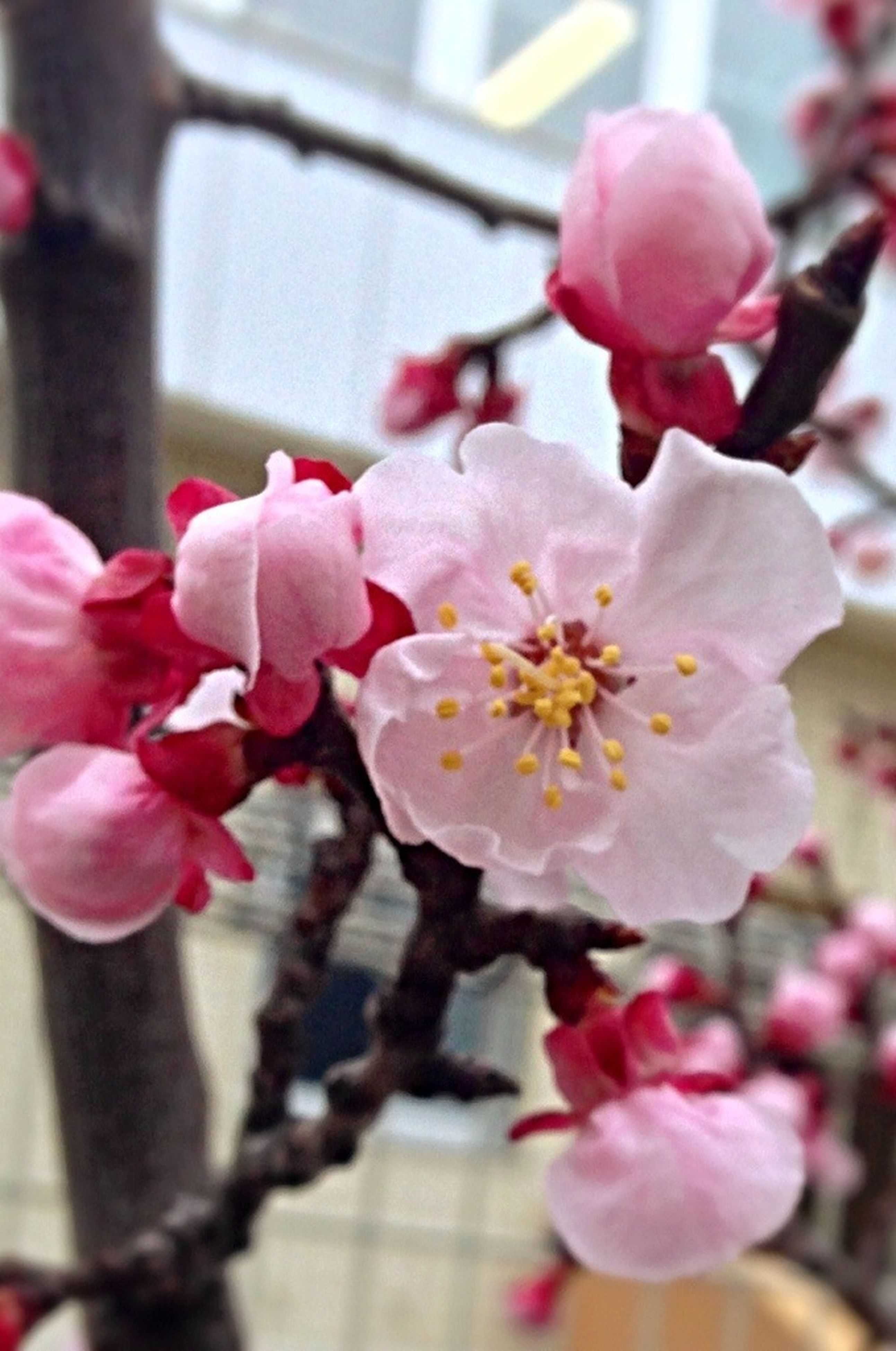 flower, freshness, petal, fragility, flower head, focus on foreground, beauty in nature, pink color, close-up, growth, nature, blossom, cherry blossom, blooming, in bloom, branch, springtime, selective focus, day, twig