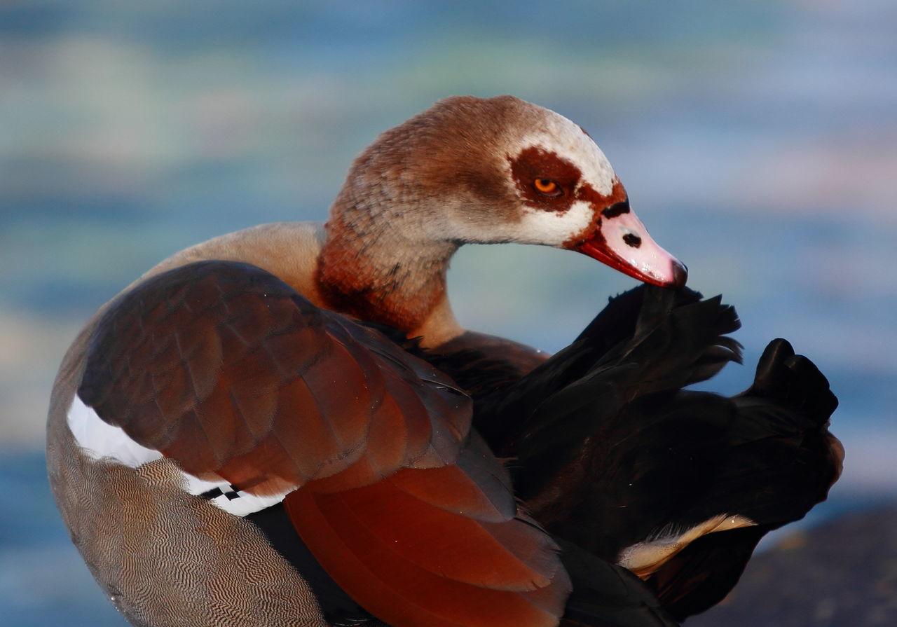 Nilgans Animal Themes Animal Wildlife Animals In The Wild Beak Beauty In Nature Bird Close-up Day Egyptian Goose Goose Lake Nature Nilgans No People One Animal Outdoors Swimming Water Bird