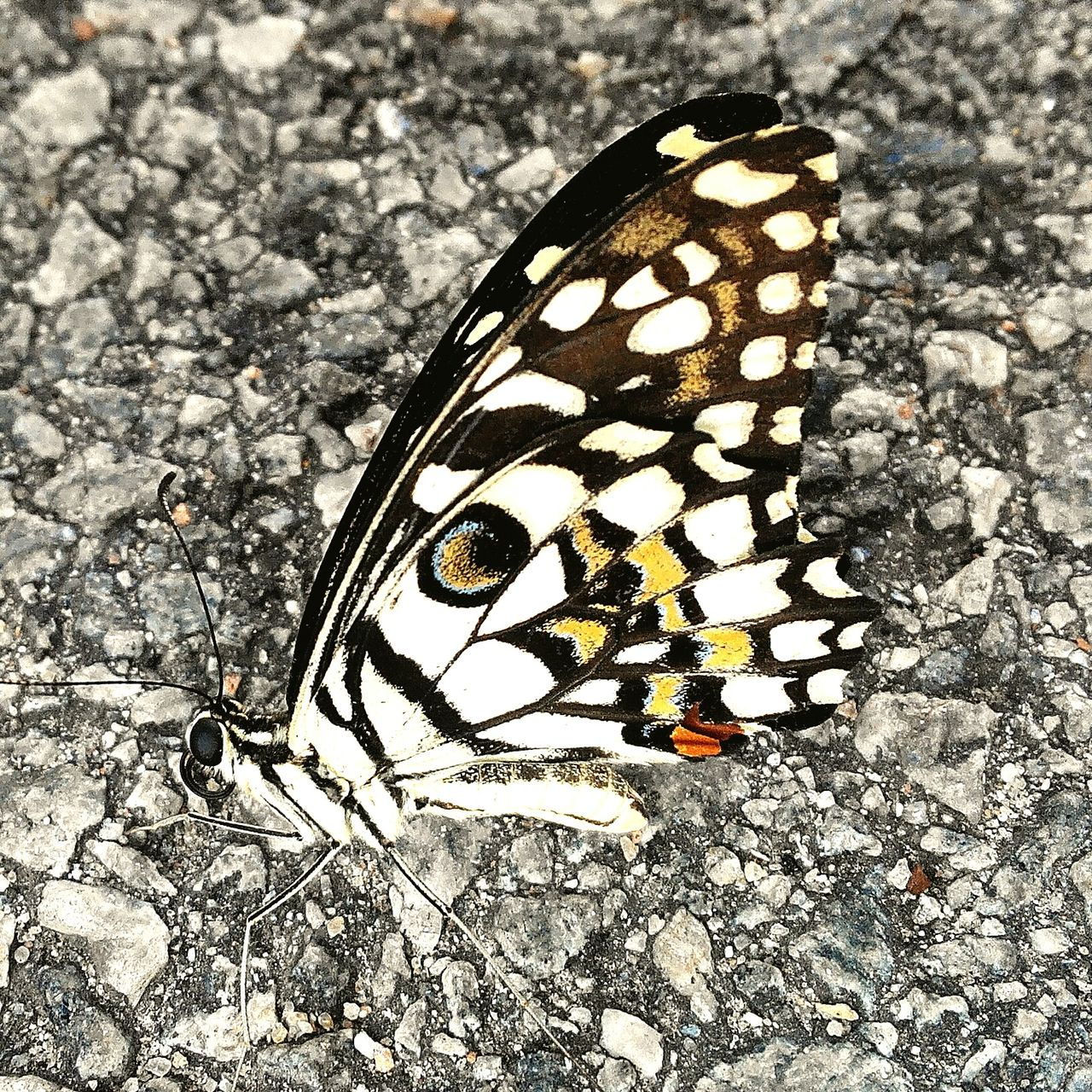 one animal, animal themes, insect, animals in the wild, animal markings, animal wildlife, close-up, no people, butterfly - insect, nature, day, outdoors