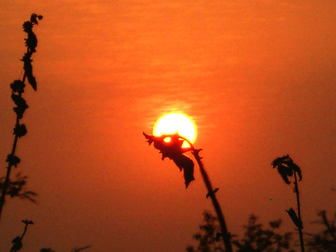 sunset, orange color, sun, nature, silhouette, flower, outdoors, growth, beauty in nature, no people, plant, sky, close-up, flower head, day