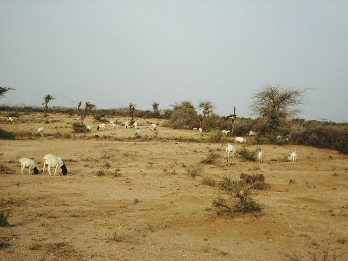 Sheep and goats in Somalia, Borama, Goat Life Sheep Nature No People Animal Themes Large Group Of Animals Animals In The Wild Landscape Tree Day Sky Outdoors Zebra Beauty In Nature