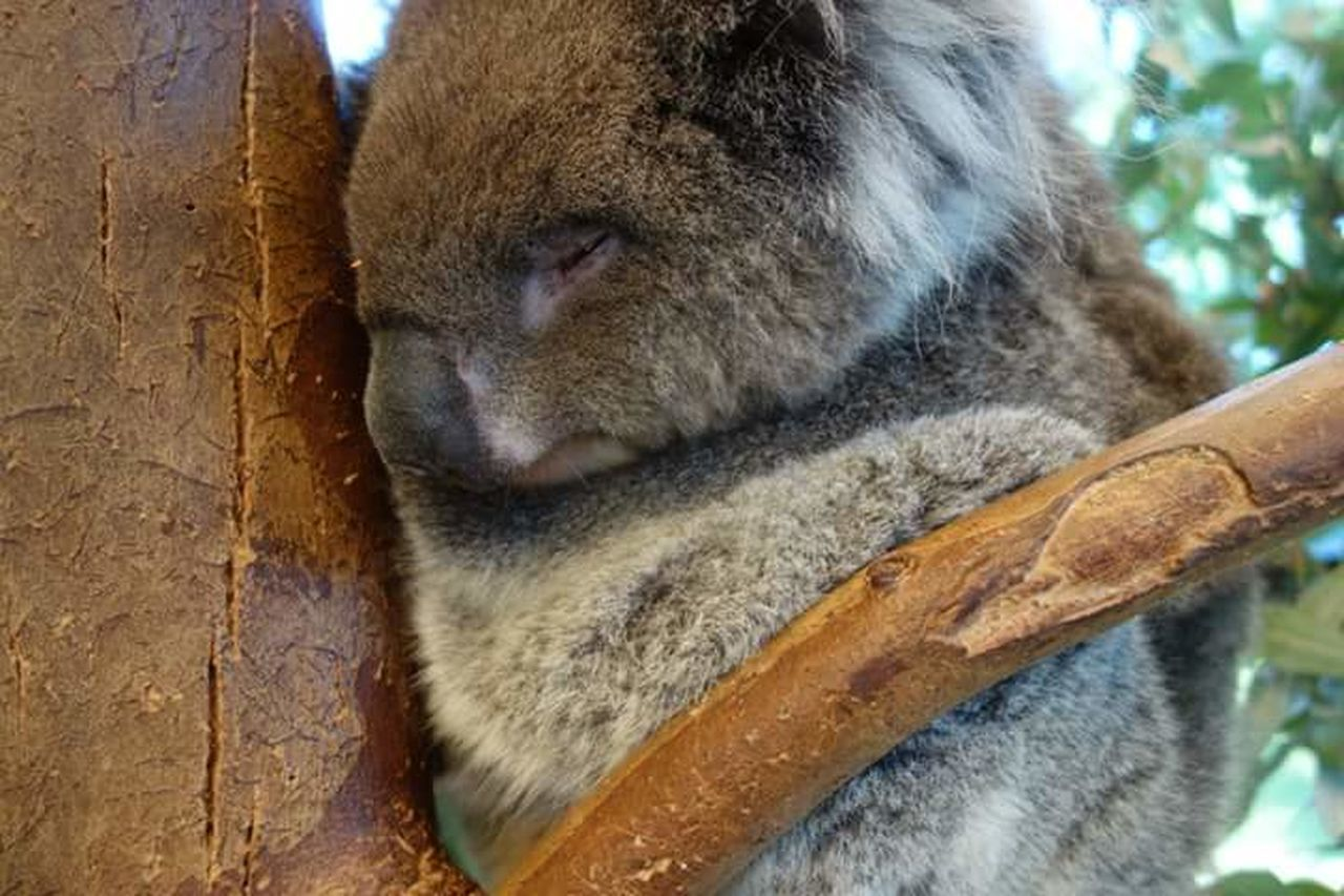 Koala Animal Sleeping Australiananimals Australia Perth