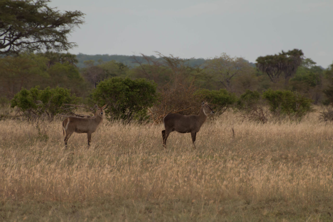 The beautiful waterbucks of Saadani National Park Animal Themes Animal Wildlife Animals In The Wild Beauty In Nature Day Grass Grassland Growth Landscape Mammal Nature No People Outdoors Saadani Saadaninationalpark Savanna Sky Tree Waterbuck Waterbucks