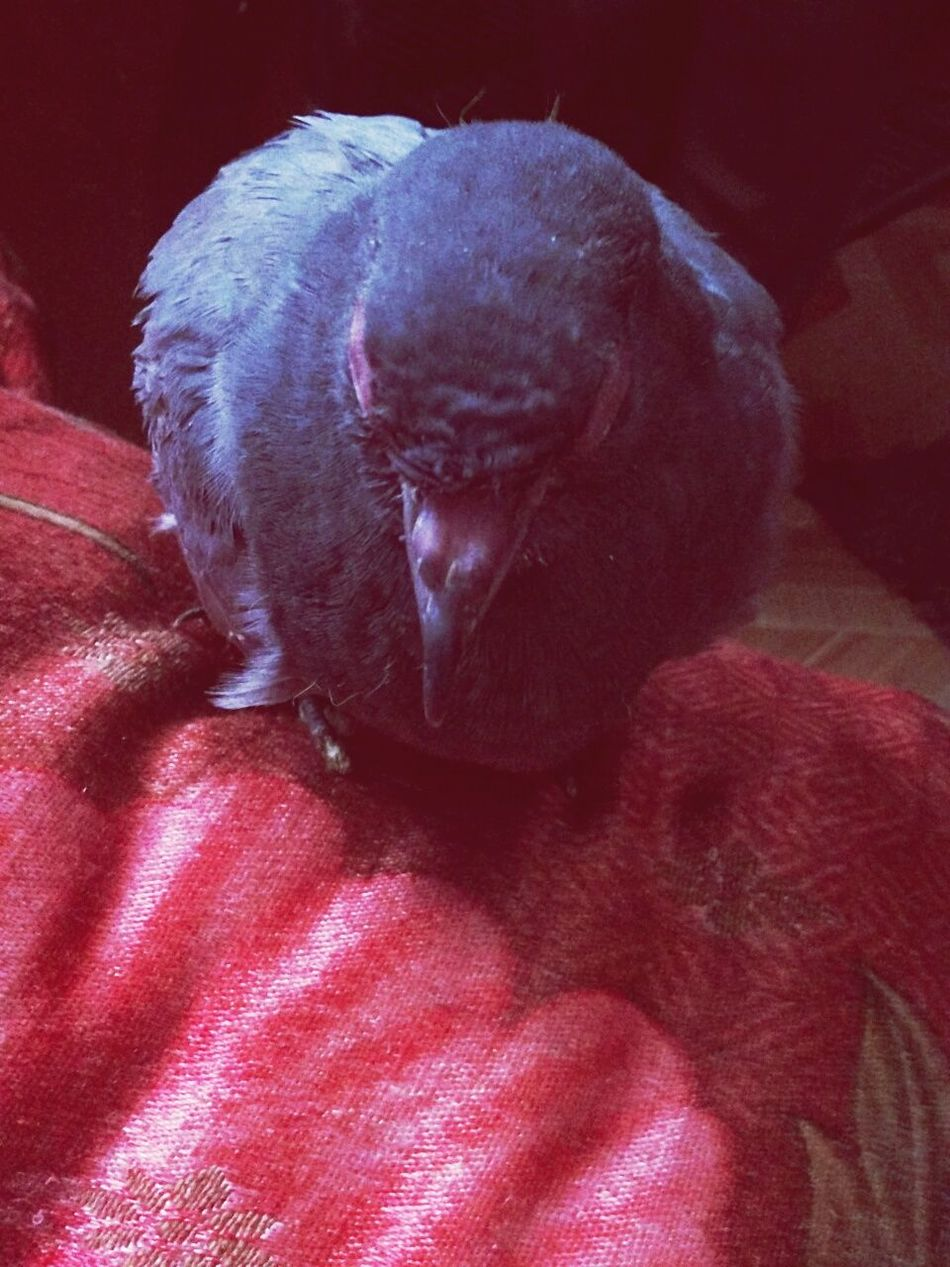 Animal Themes One Animal Mammal No People Close-up Indoors  Day Animal Head  Animal Photography Animal Body Part Animal Love Animal_collection Animal Nose Animal Wing Animallovers Animal Behavior Animal Representation Animal Head  Pigeon Pigeon Bird  Pigeonslife Pigeon Watching Pigeon Love Pigeon House Pigeons In Love