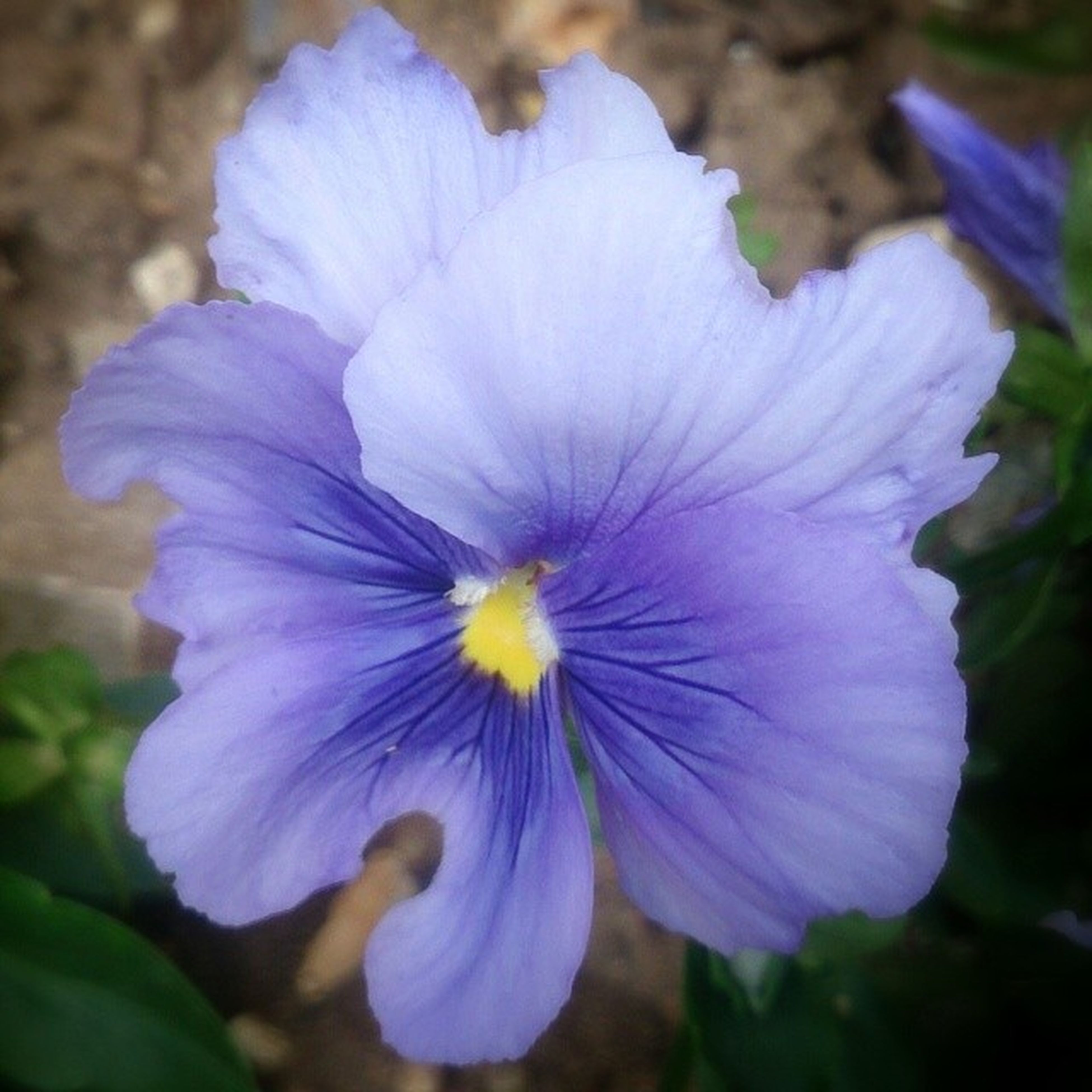 flower, petal, purple, freshness, flower head, fragility, beauty in nature, close-up, growth, blooming, focus on foreground, nature, blue, single flower, pollen, plant, in bloom, stamen, outdoors, day