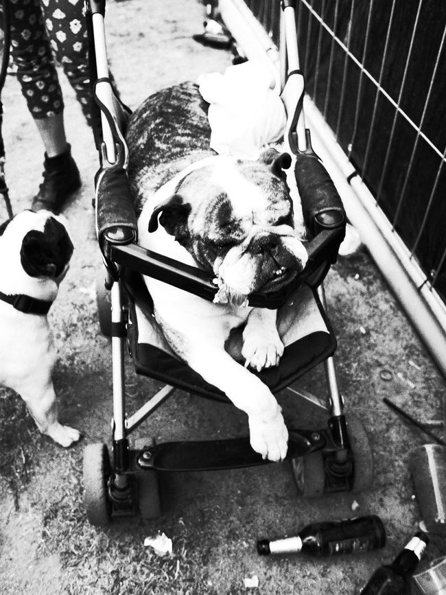 Alcohol Animals Background Buggy Cover Dog Dog Love Dogs Dogslife Drinking Drunk Drunked Drunken Fun Funny Lifestyles Party Relax Relaxing Relaxing Time Sitting Street Photography Streetphotography Time Out Monochrome Photography
