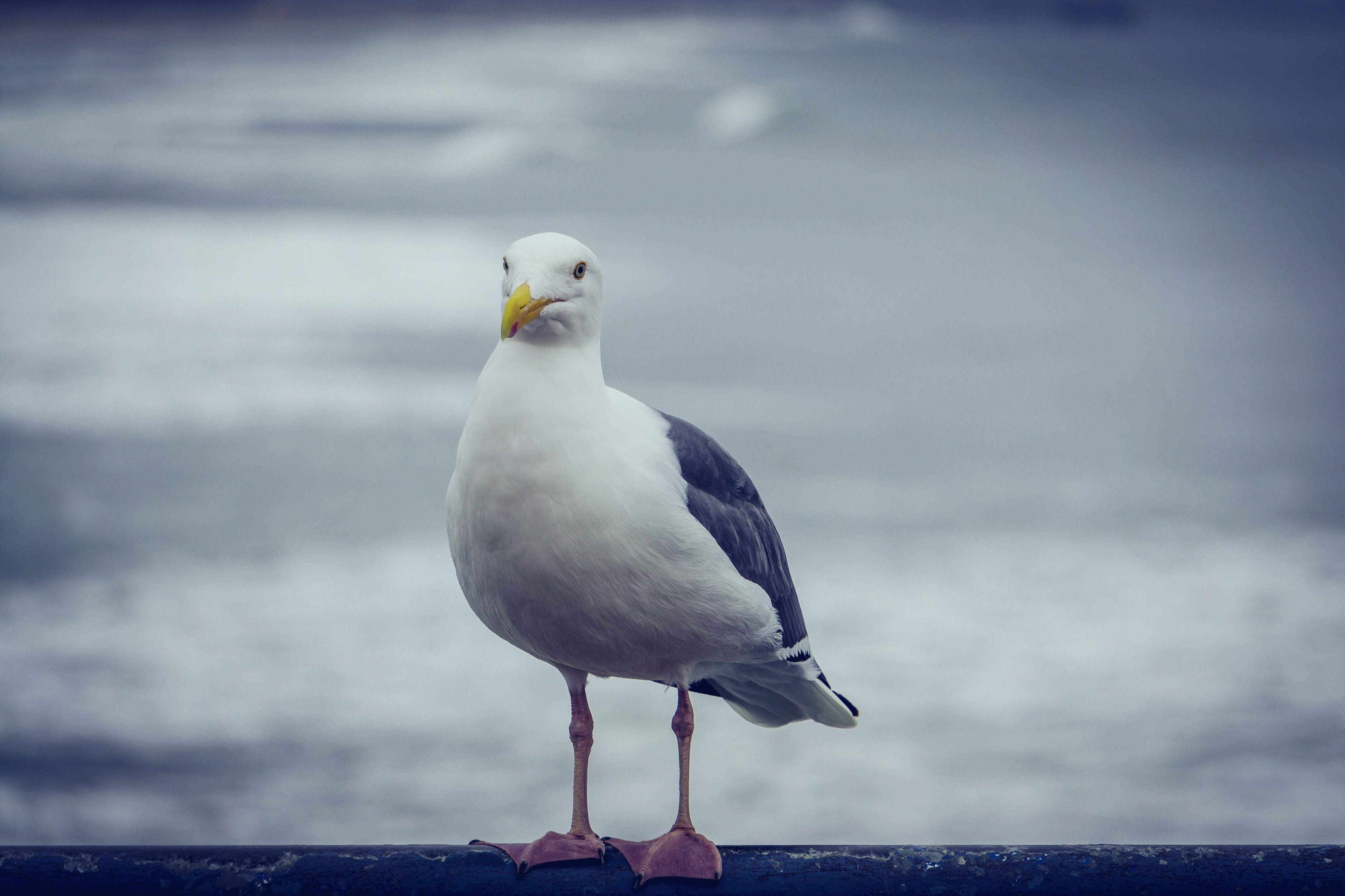 bird, animal themes, animal wildlife, animals in the wild, one animal, nature, seagull, no people, sea, water, close-up, perching, outdoors, day, beauty in nature