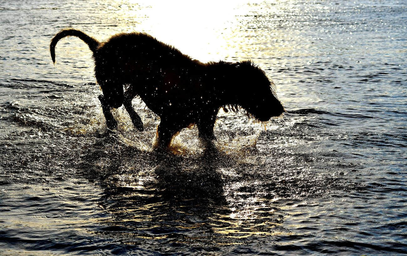 Taking Photos Check This Out Relaxing Enjoying Life May 2016 Spring 2016 Showcase May Capture The Moment Dog Of The Year 2016 Pets Corner Dog Of The Day Wooo Hooo! Let's Party! Riverside The Places I've Been Today Elbe Dogslife Cearnaigh Irish Wolfhound Elbe River Dog Of My Life Splashes Water_collection Dogwalk Silhuette Evening Light