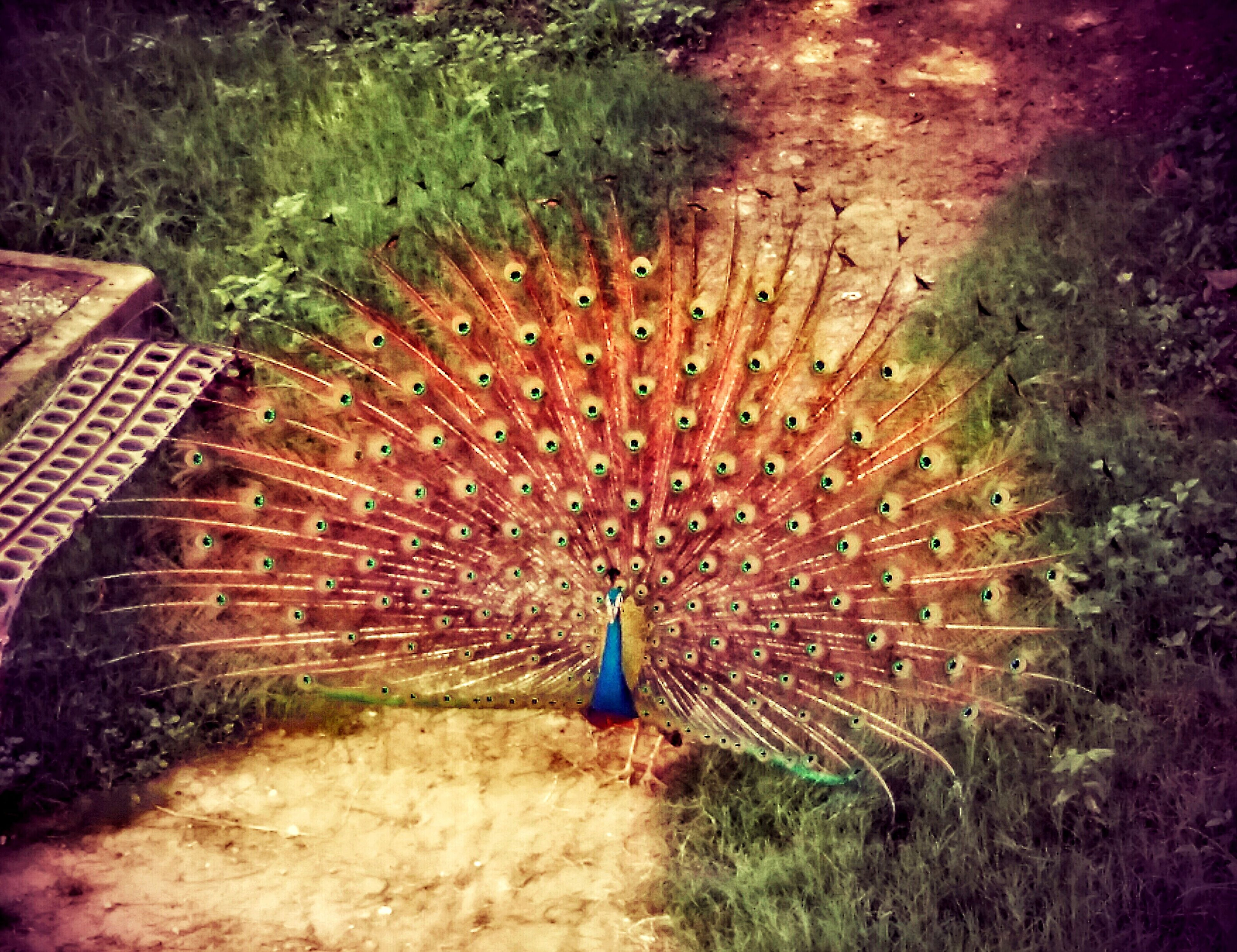 animal themes, one animal, animals in the wild, wildlife, full length, bird, high angle view, nature, peacock, field, outdoors, feather, beauty in nature, day, grass, rock - object, natural pattern, plant, rear view, one person