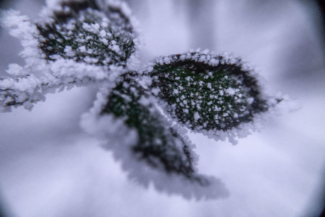Beauty In Nature Cold Cold Temperature Frost Ice Ice Crystals Leaves Má Nature Outdoors Snow White