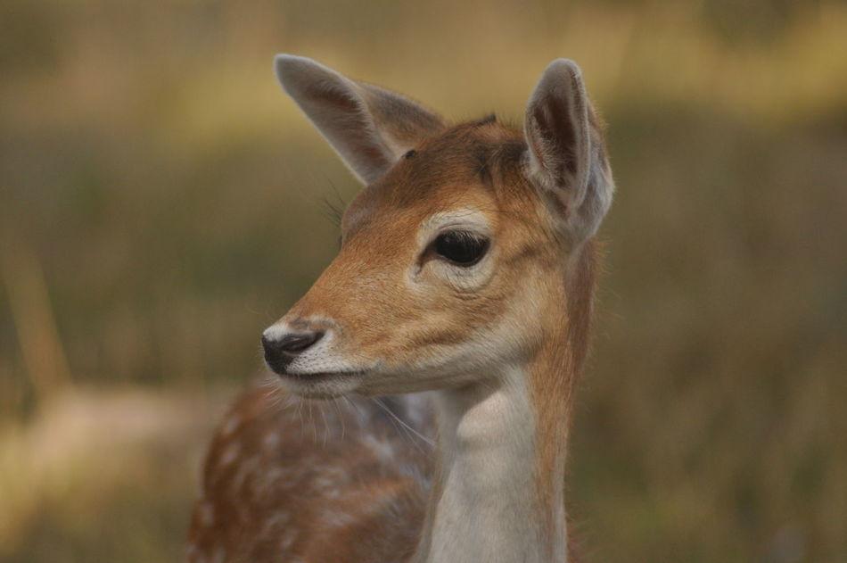 Beautiful stock photos of hirsch,  Animal Nose,  Animals In The Wild,  Beginnings,  Close-Up