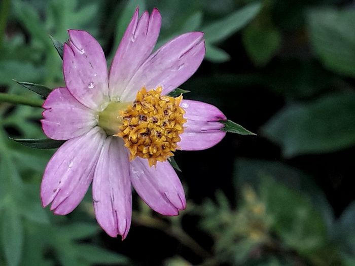 Cosmos Caudatus Flower After Rain Cosmos Caudatus Flower Cosmos Candatus Pink Bunga Pokok Ulam Raja Bunga Ulam Raja Bunga Ulam Raja Merah Jambu Flower Petal Fragility Flower Head Beauty In Nature Pink Color Multi Colored Freshness Stamen Plant Nature Beauty Day Close-up No People Outdoors