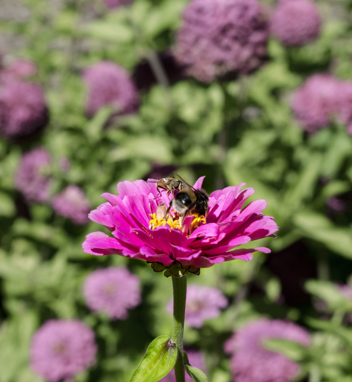 flower, one animal, insect, animal themes, animals in the wild, fragility, petal, nature, growth, freshness, pink color, outdoors, beauty in nature, no people, plant, day, animal wildlife, purple, bee, flower head, close-up, pollination, bumblebee, blooming