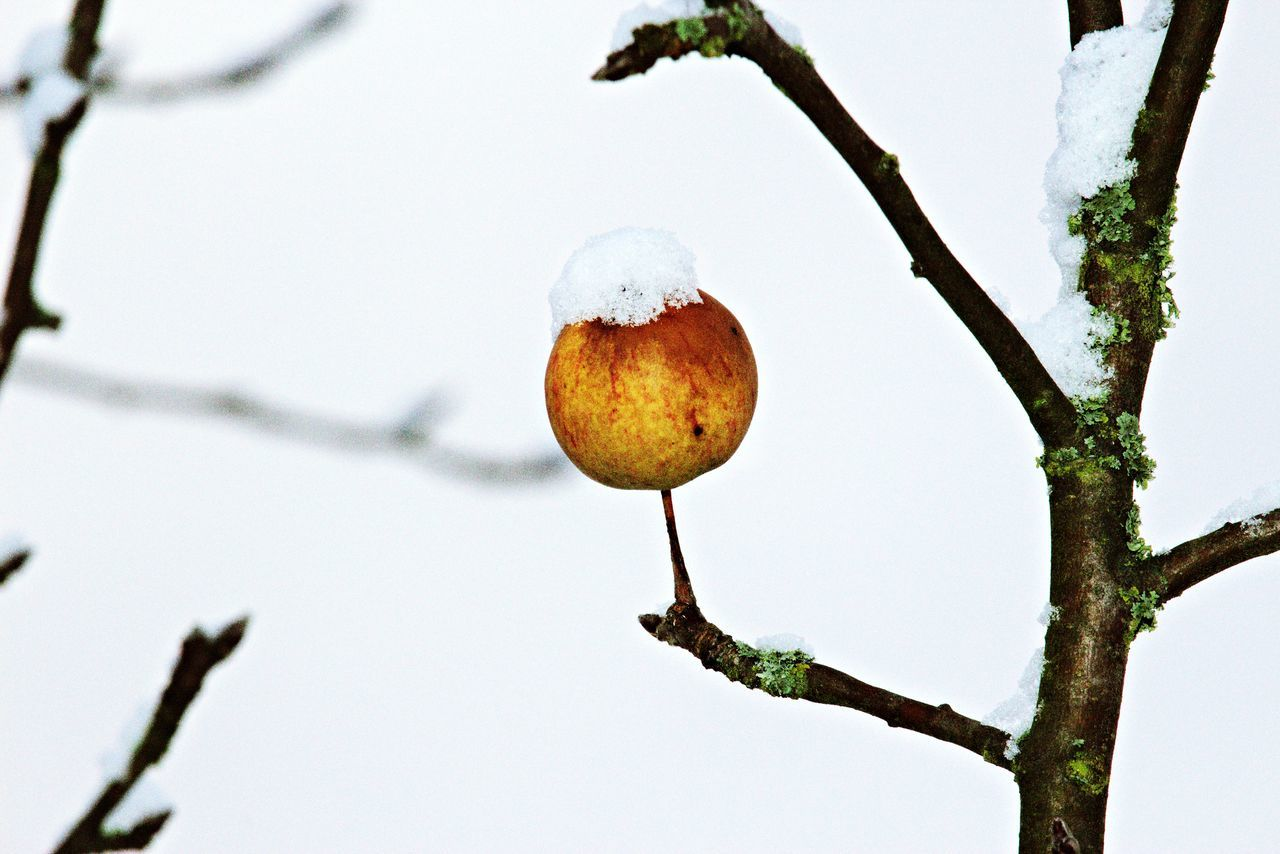 Beautiful stock photos of apple, Apple - Fruit, Apple Tree, Branch, Cold Temperature