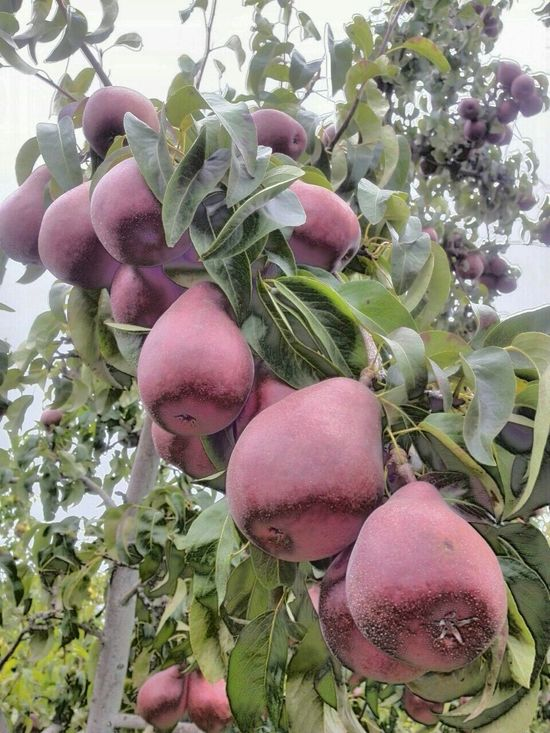 Ready for Harvest Harvest Time Food Food Photography Fruit Fruits Fruit Tree Fruit Photography Red Red Pears Tree And Sky Sky Daytime Orchards Agriculture Agriculture Photography Enjoying Life Pear Tree  Tree Leaves Washington State Clusters Break The Mold