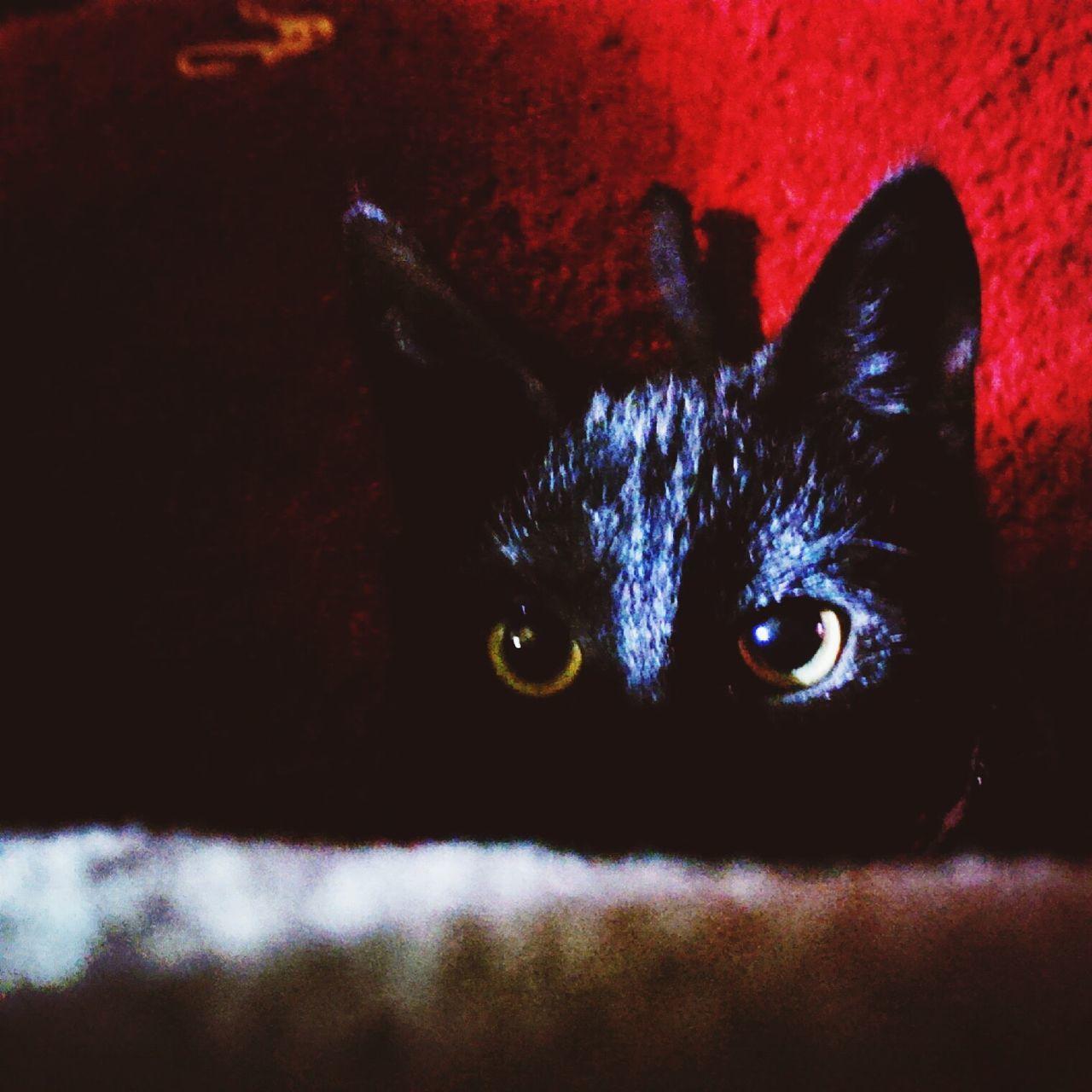 Showcase June Kitty Cat Polydactal Eyes Attackmode